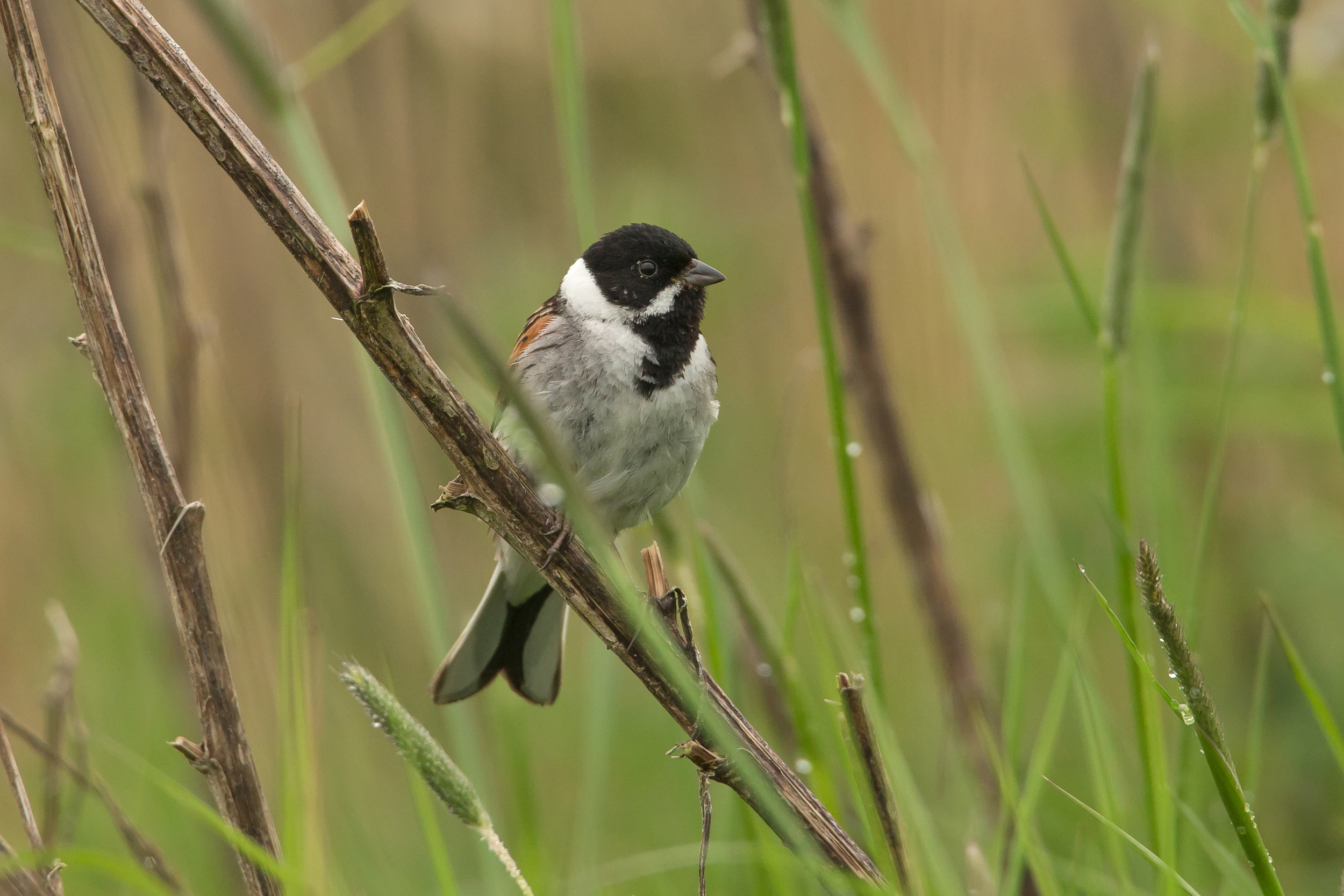 Common Reed Bunting, Alston Reservoirs.