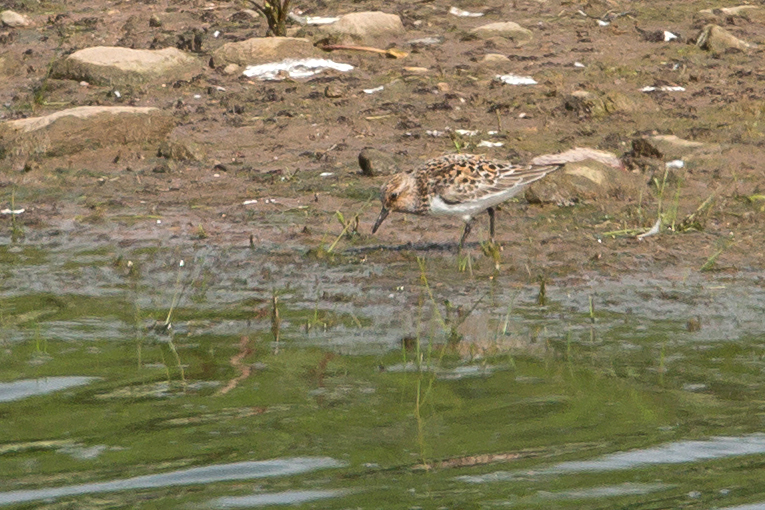 Sanderling in breeding plumage, Alston Wetland - note the impression of a pale   supercilium in this shot.