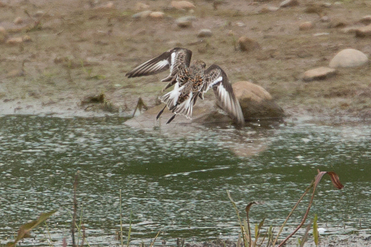 Sanderling, Alston Wetland.