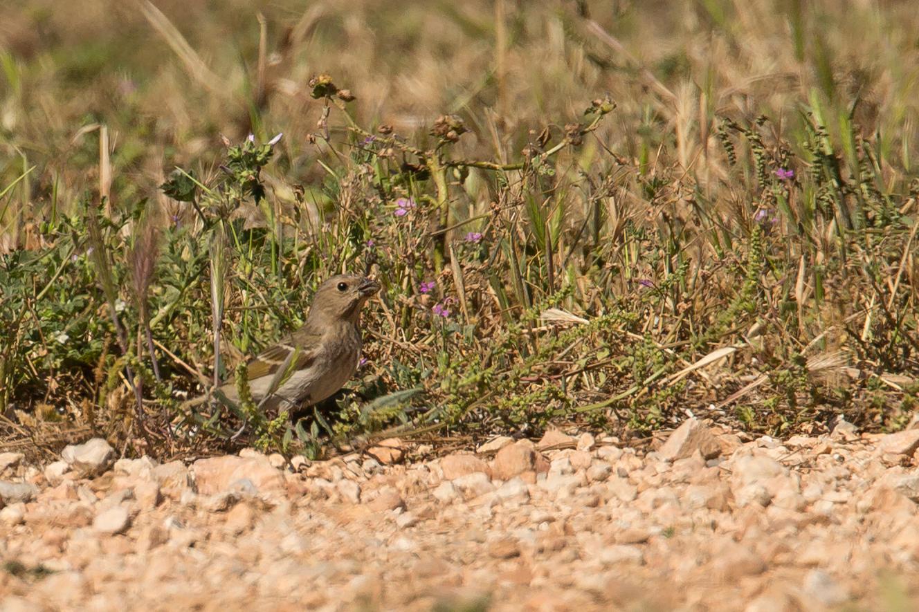 Common Rosefinch, Isla de Cabrera, May 2016.
