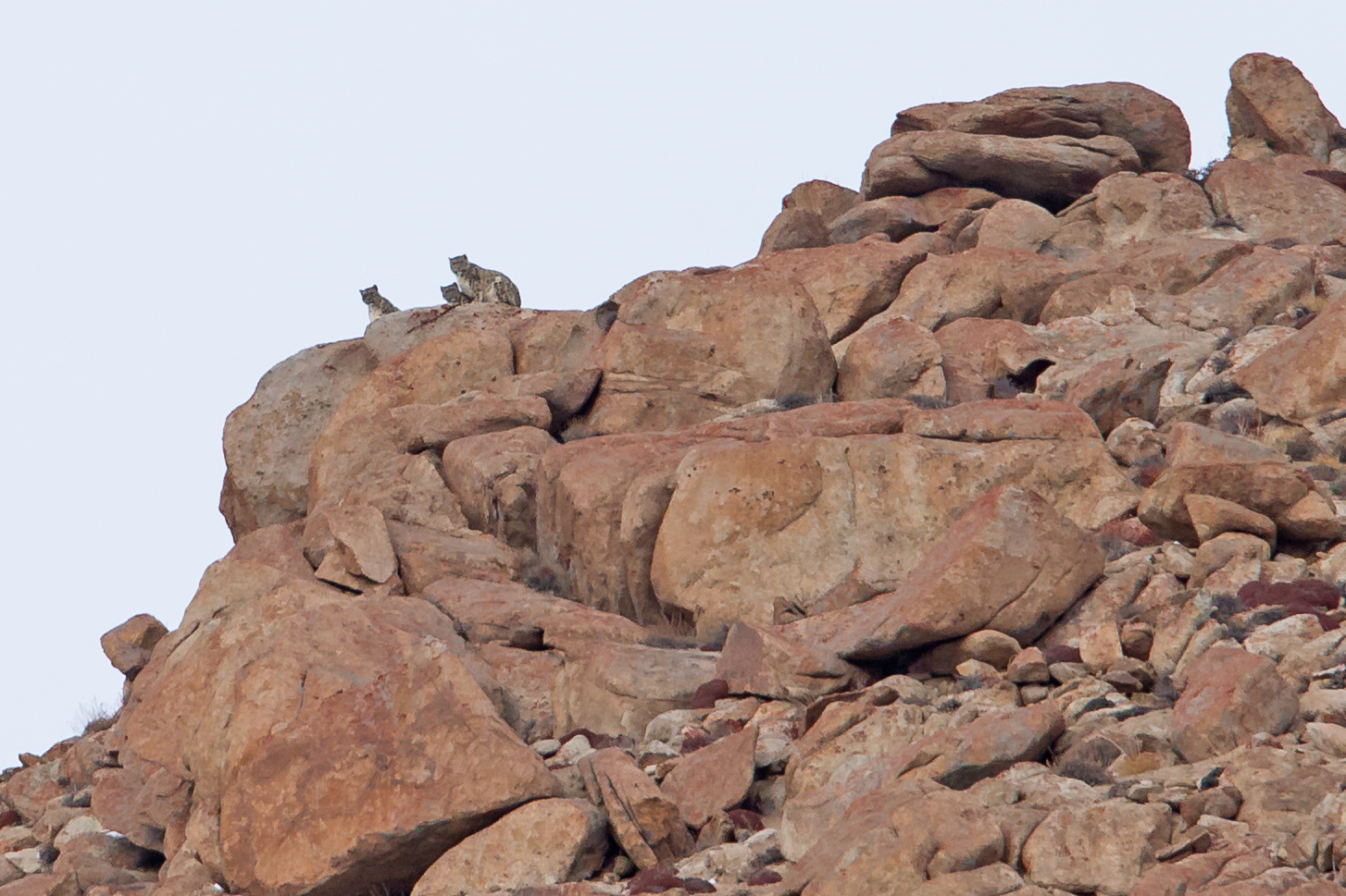 A family of three Snow leopards seen on our 2016 tour.