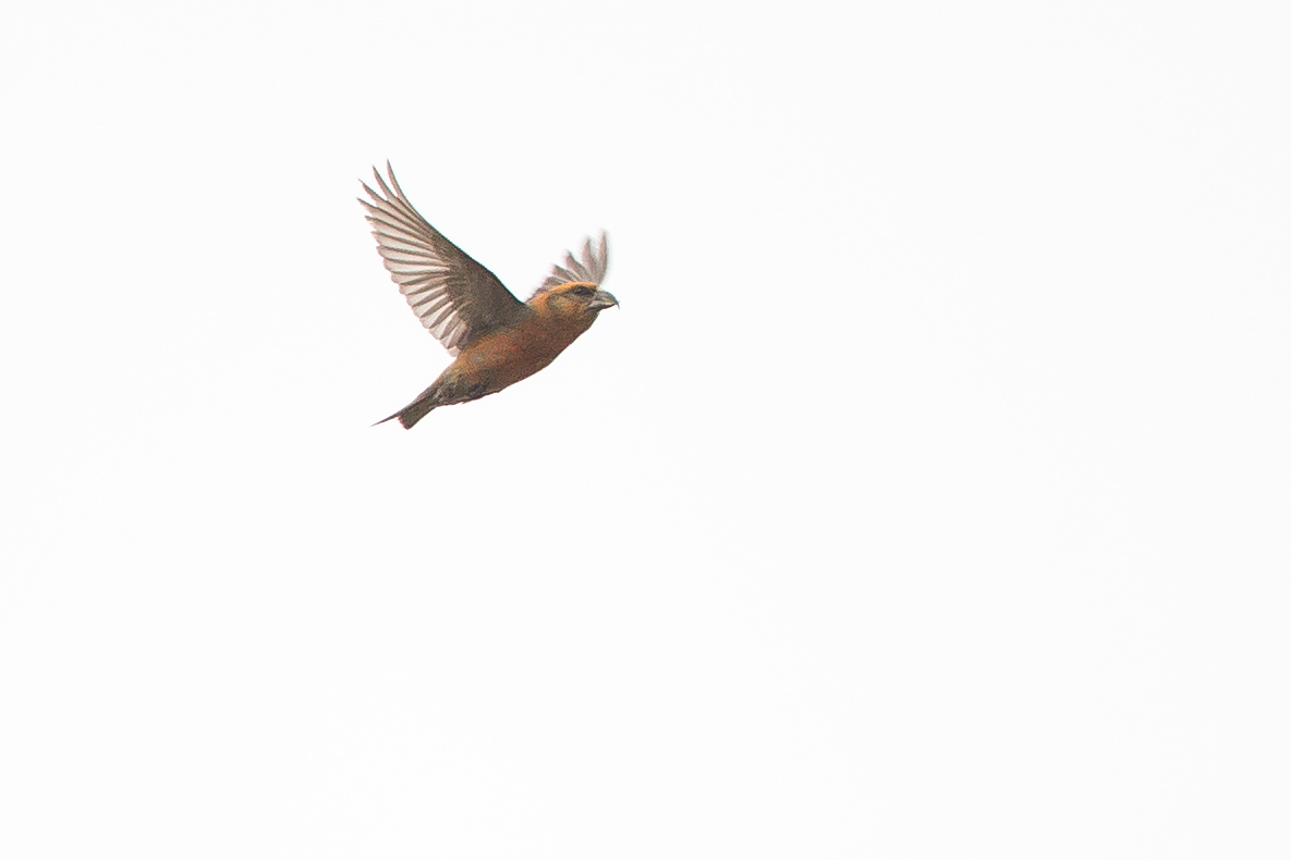 Common Crossbill (male), Gannow Fell.