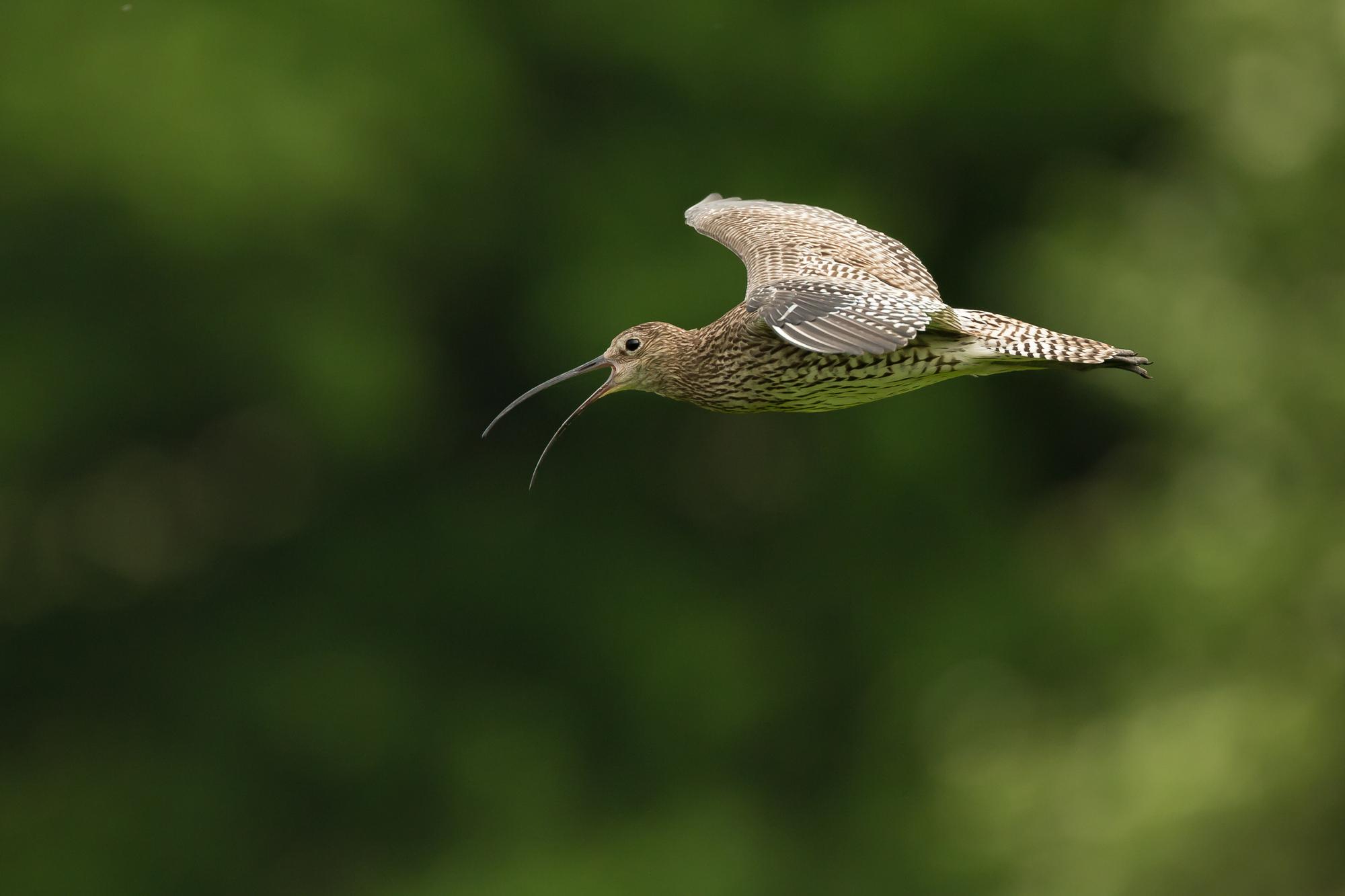eurasian-curlew.jpg