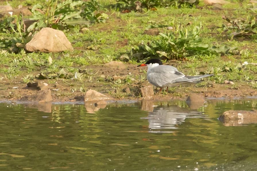 Common Tern, Alston Wetland..