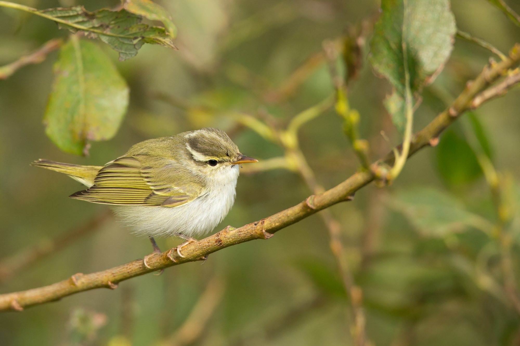 Eastern Crowned Warbler, Bempton Cliffs, N Yorks, Oct 2016.