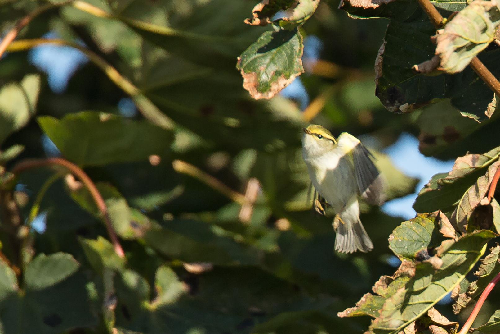 Pallas's Warbler, Easington