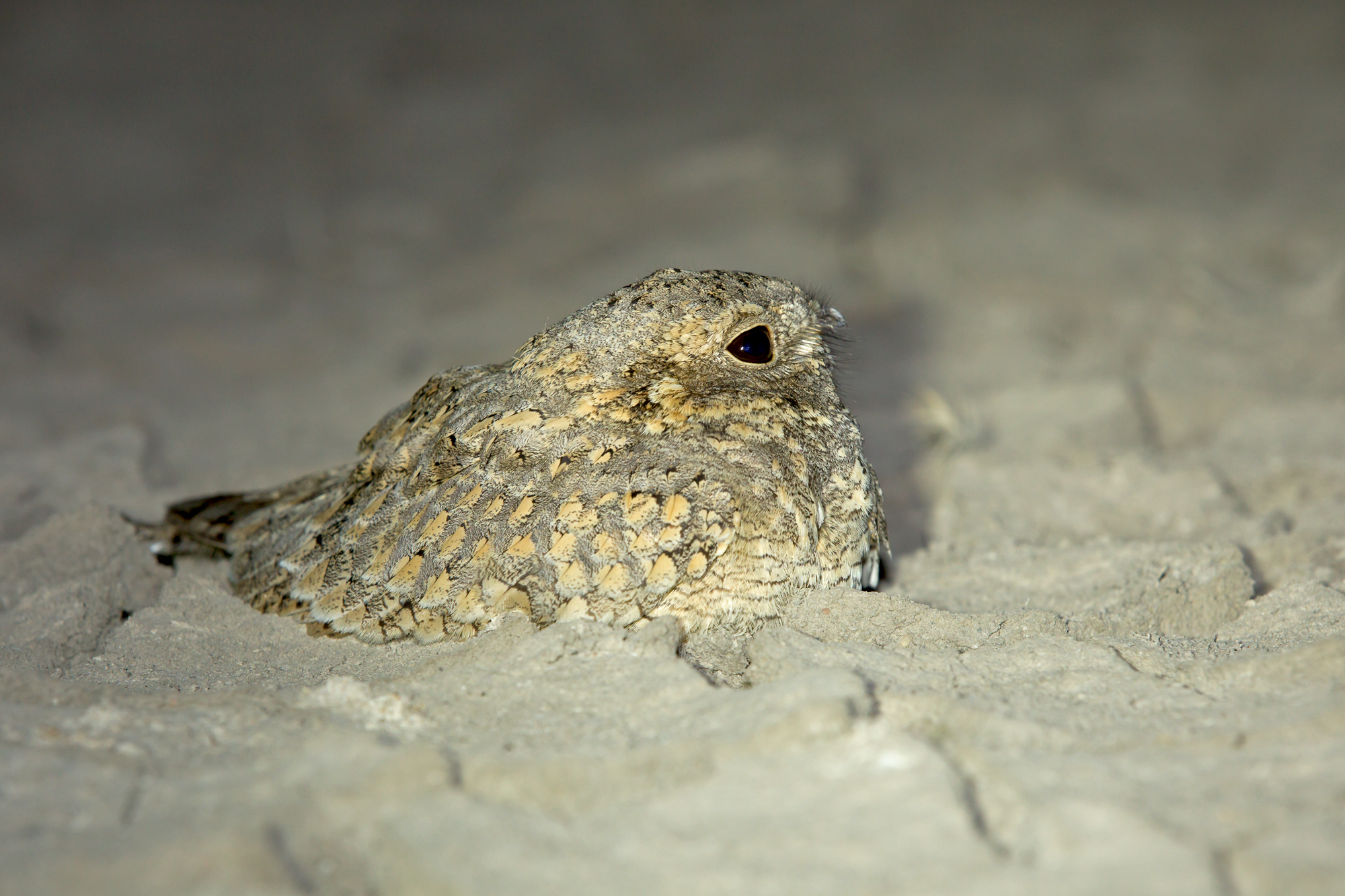 Sykes's Nightjar, Little Rann of Kutch.