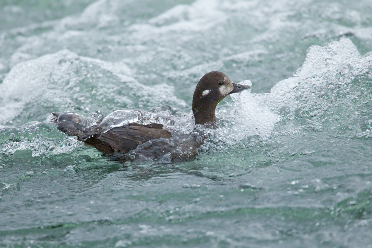 A female Harlequin Duck shoots the rapids on the River Laxa.