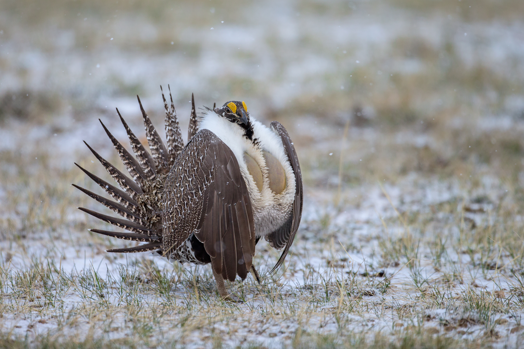 Greater Sage Grouse, North Park.