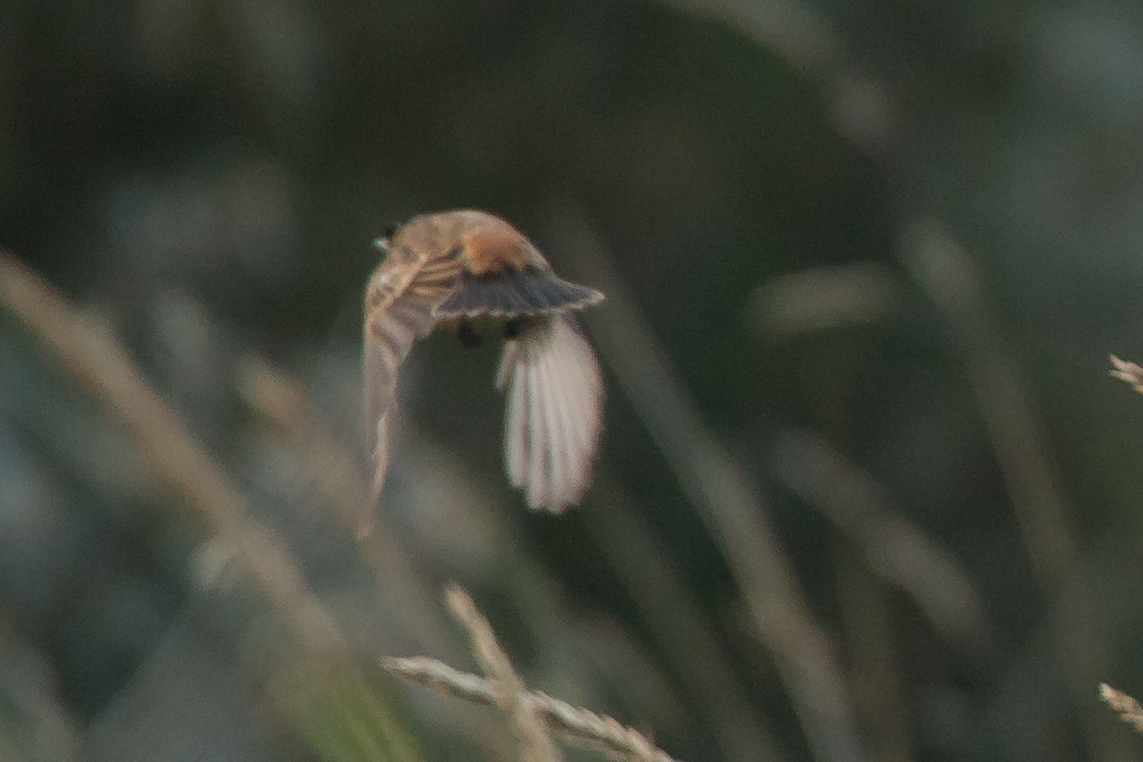 Stejneger's Stonechat - record shot of its small, warm rufous, unmarked rump.