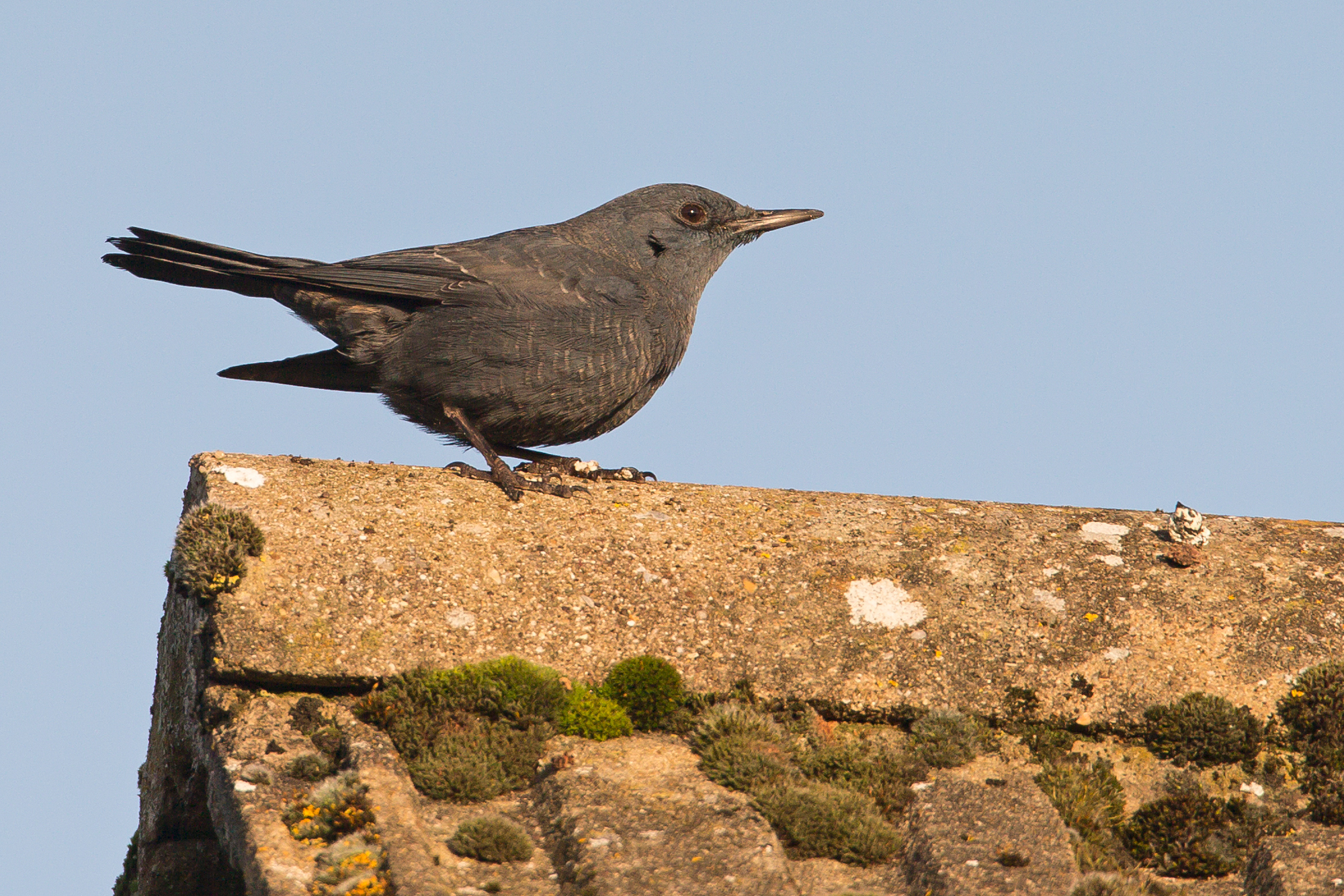 Blue Rock Thrush, Stow-on-the-Wold, 30 December 2016