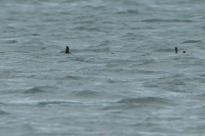Black Scoter, Cheswick Sands