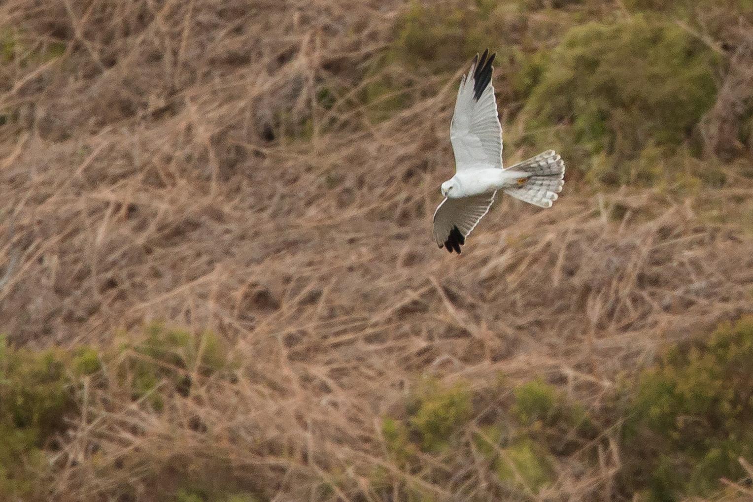Pallid Harrier, Whitendale, Bowland