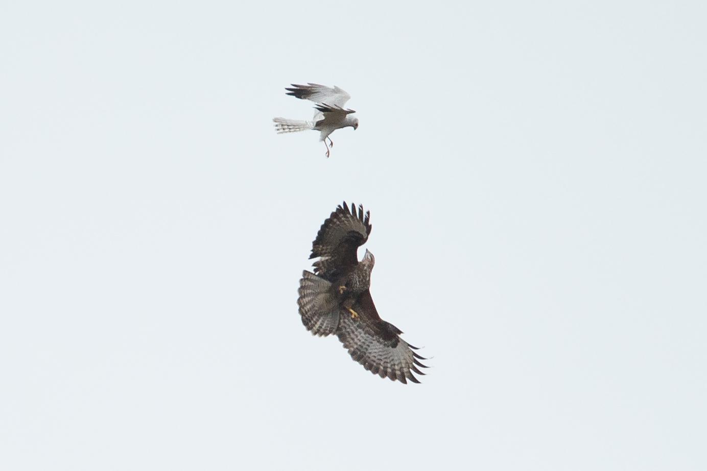 Pallid Harrier versus Common Buzzard. No contest!