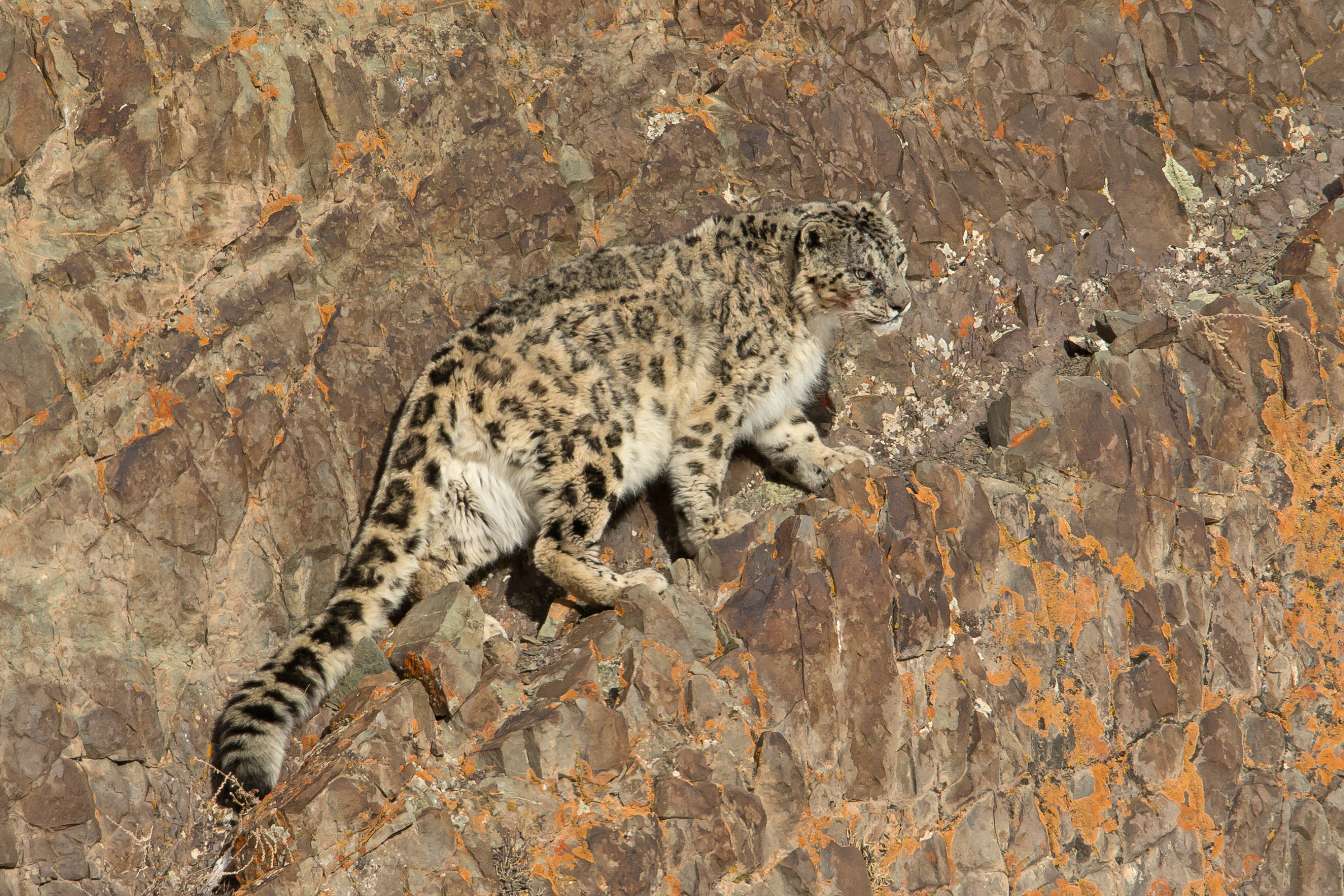 Snow Leopard, Hemis National Park