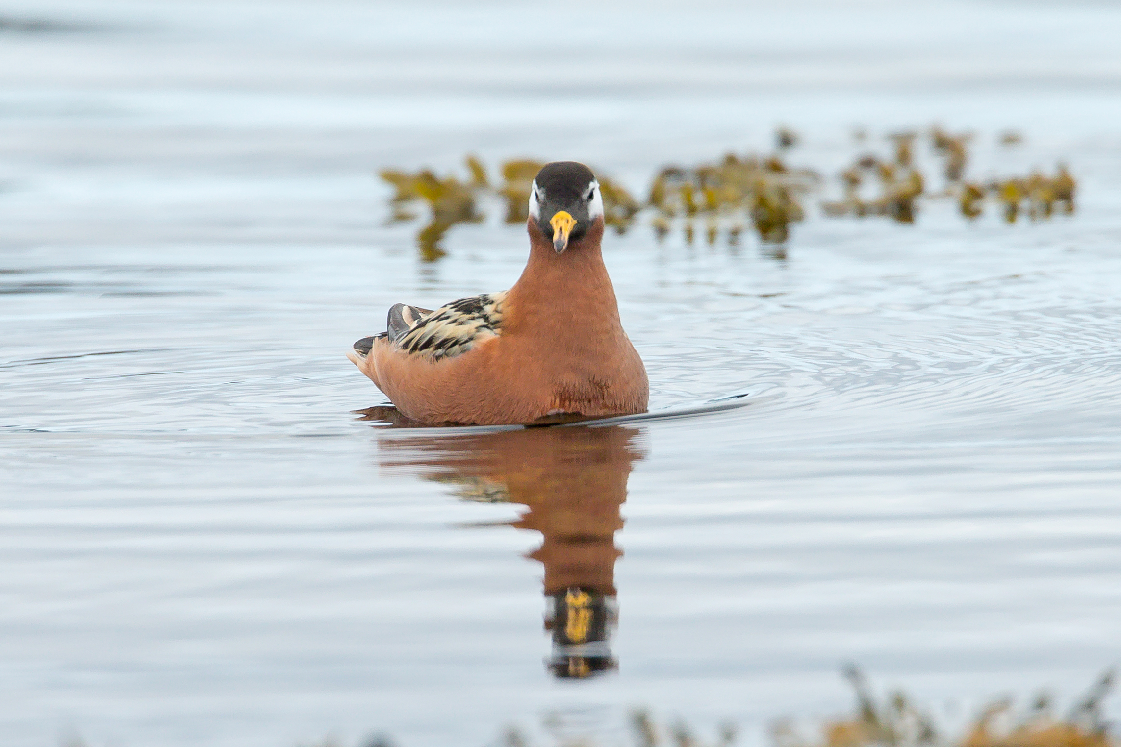 Red Phalarope (female), Flatey June 2017