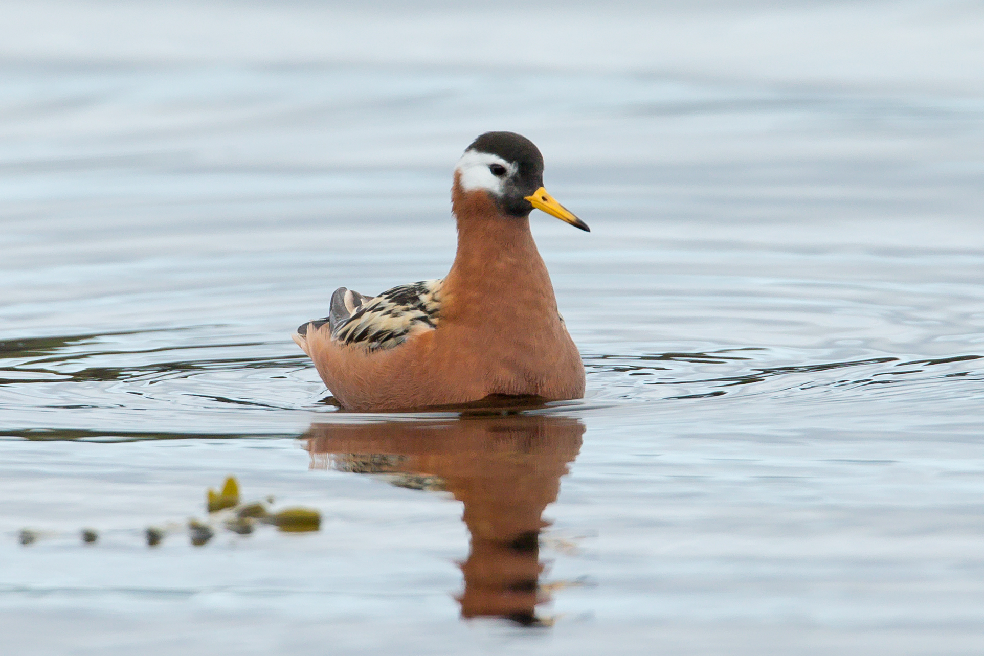AN6V9096-red-phalarope.jpg