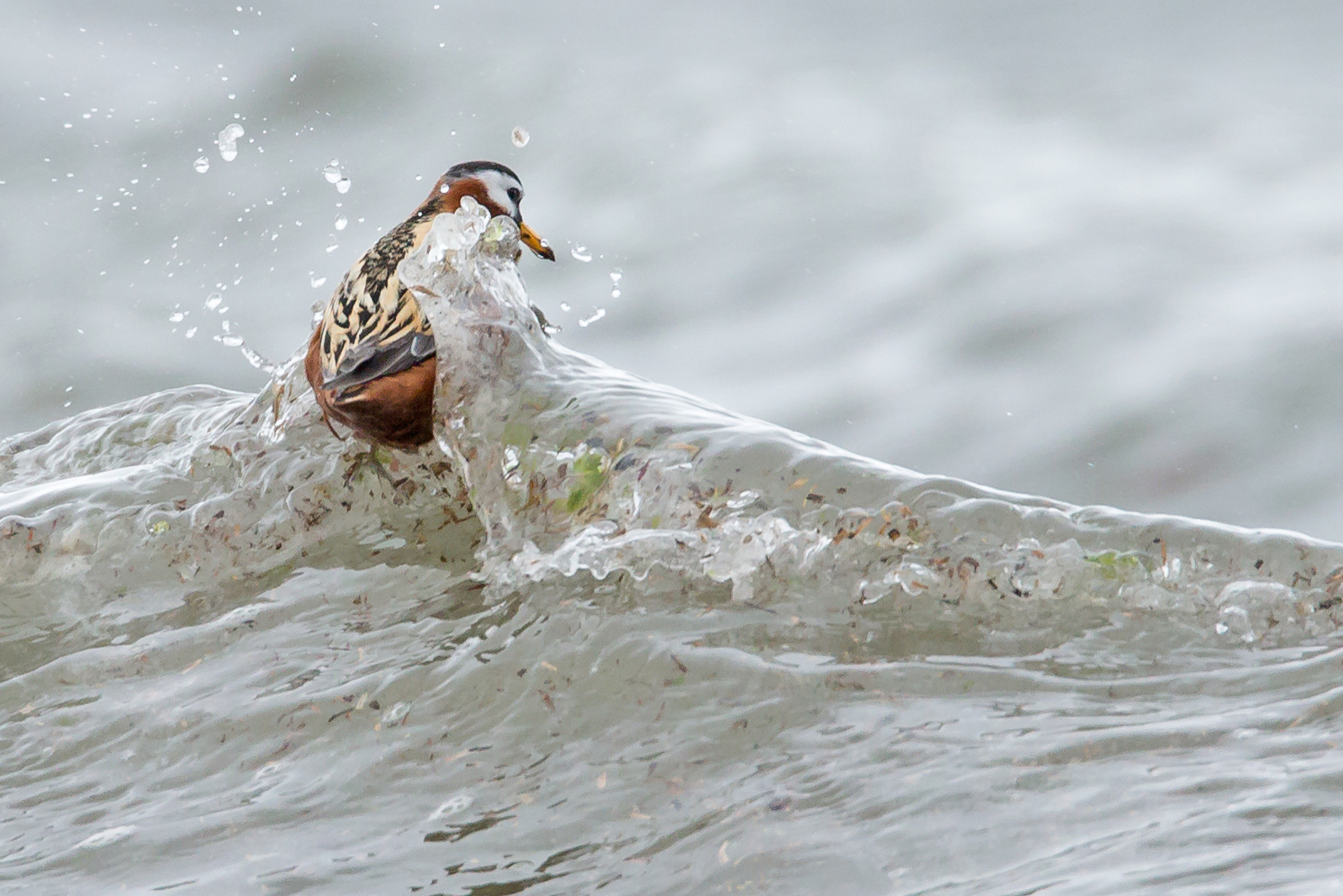 red_phalarope.jpg