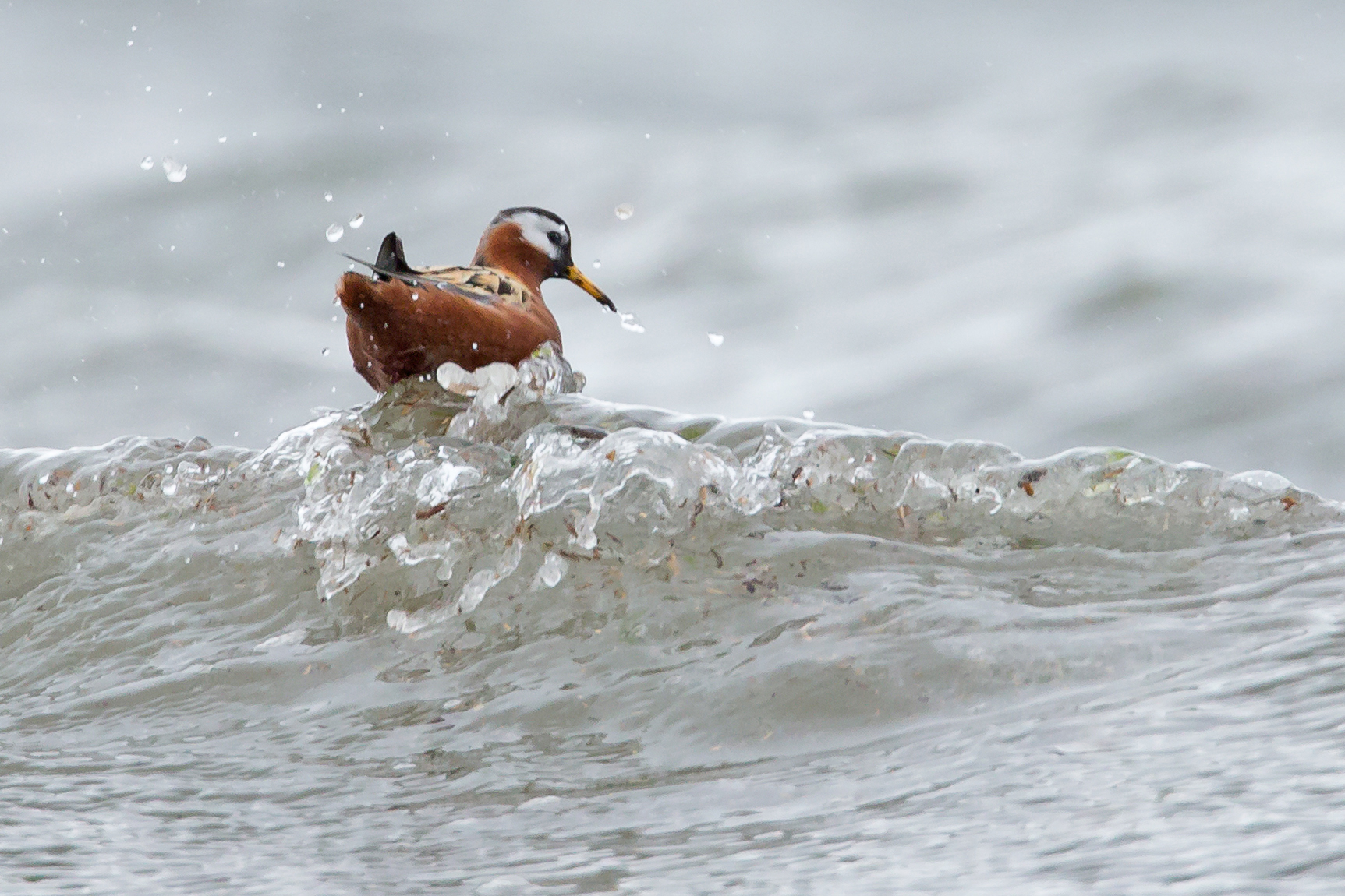 AN6V9040-Red-Phalarope.jpg