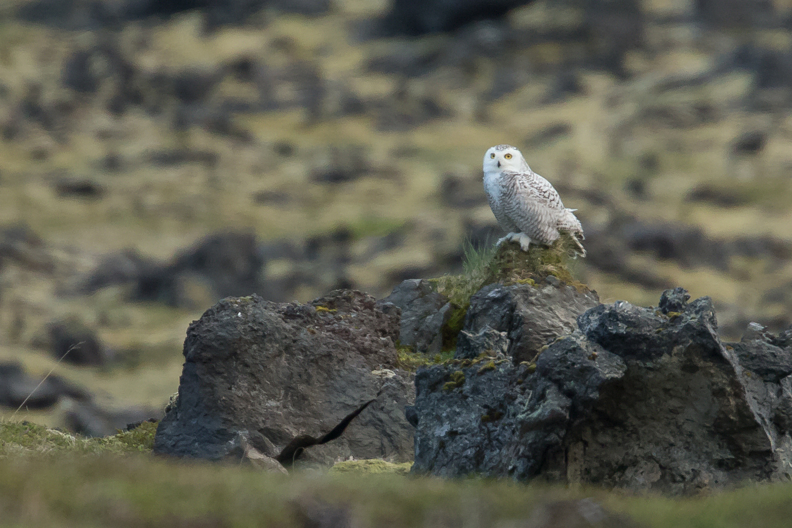 A Snowy Owl 'in the middle of nowhere' was probably our most exciting find.