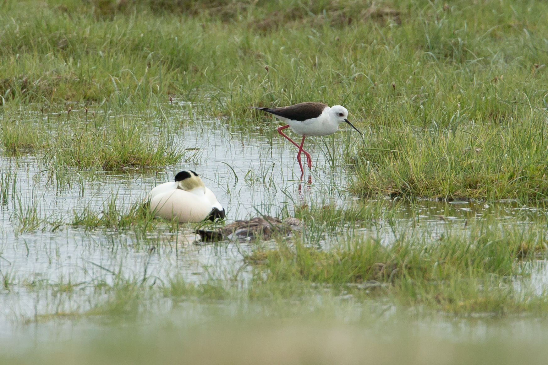 Iceland's first Black-winged Stilt, Sandgerdi.