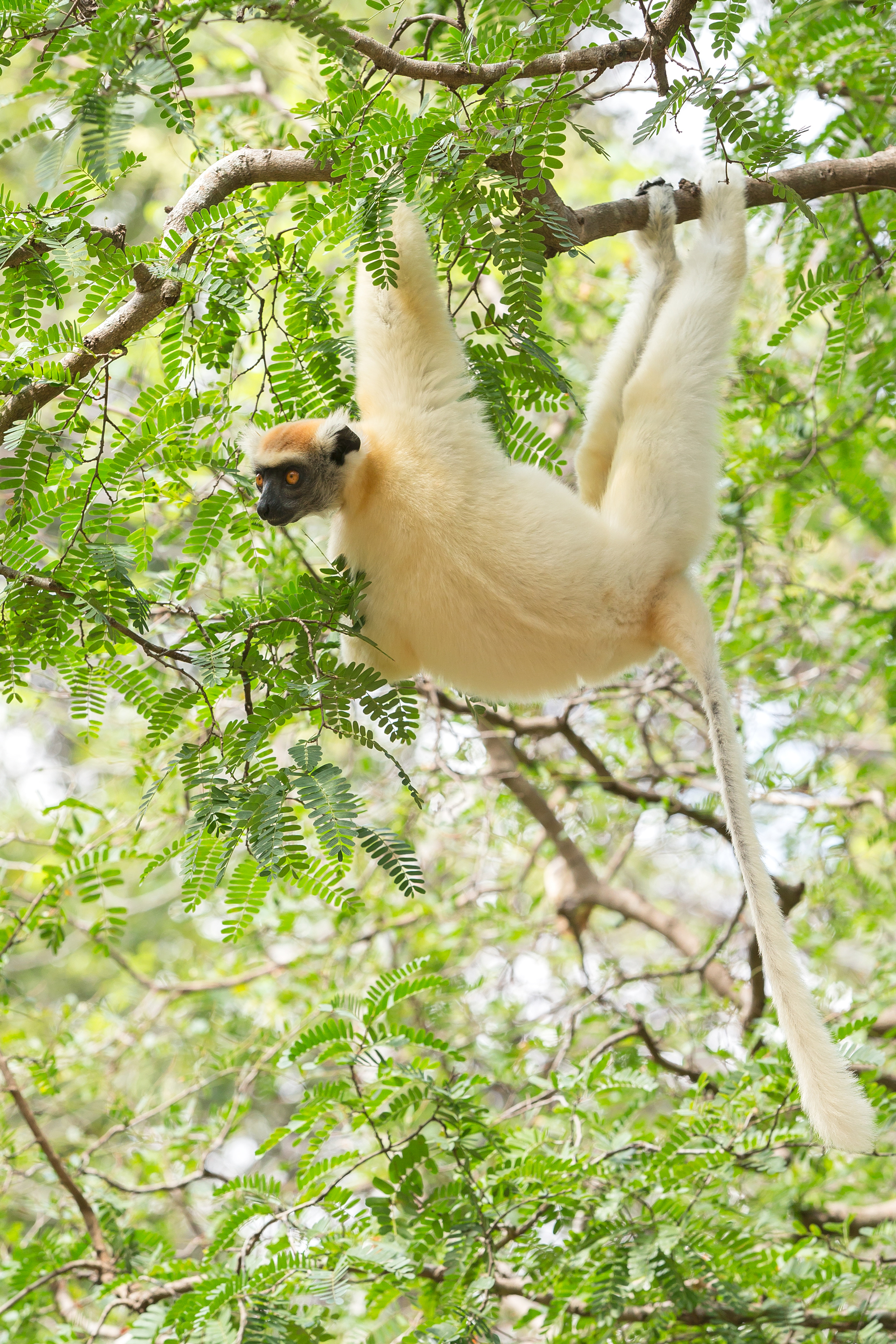 Golden-crowned_Lemur.jpg