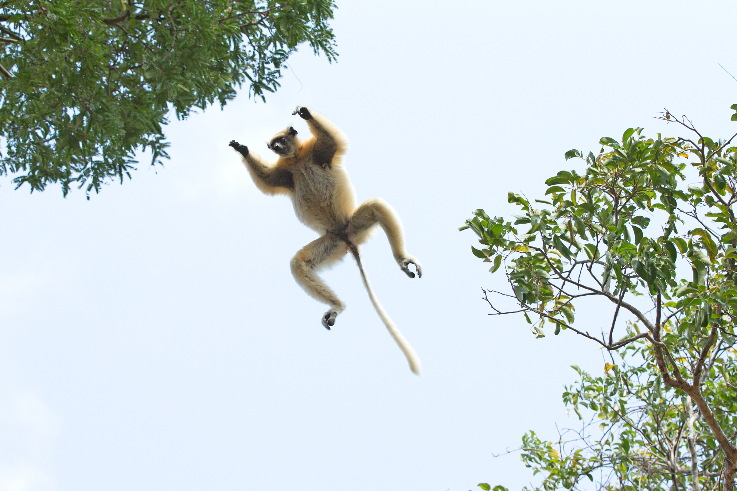 'I believe I can fly! A Golden-crowned Sifaka takes to the air.