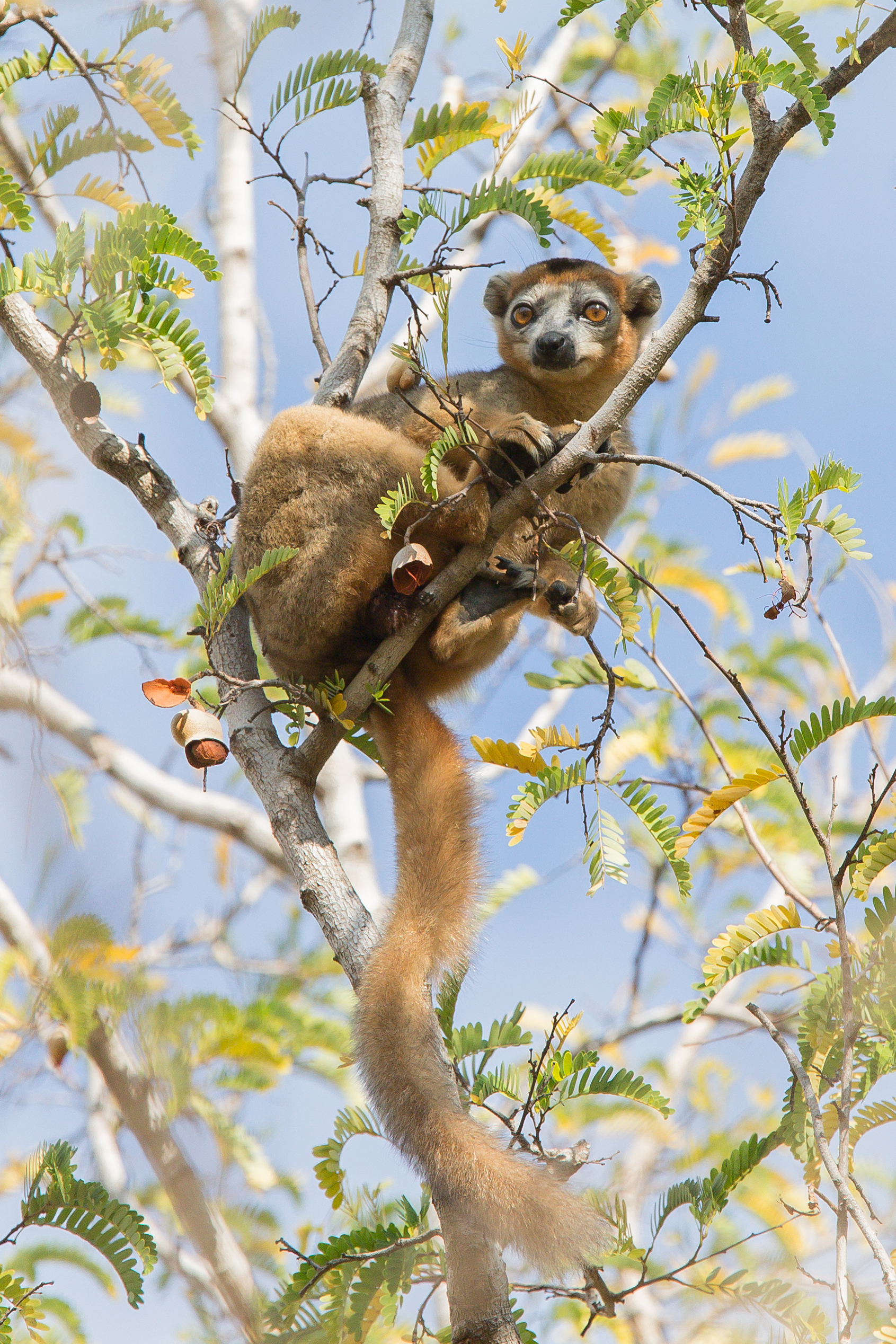 Crowned Lemur, from the bathroom!