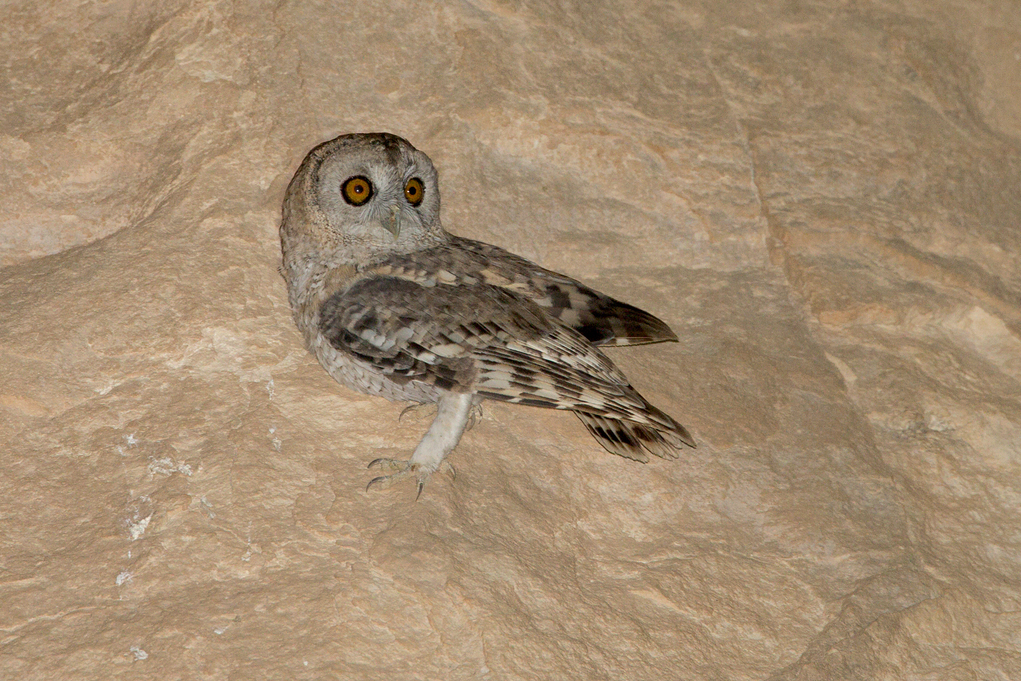 Desert Owl is one of our main targets on this itinerary.