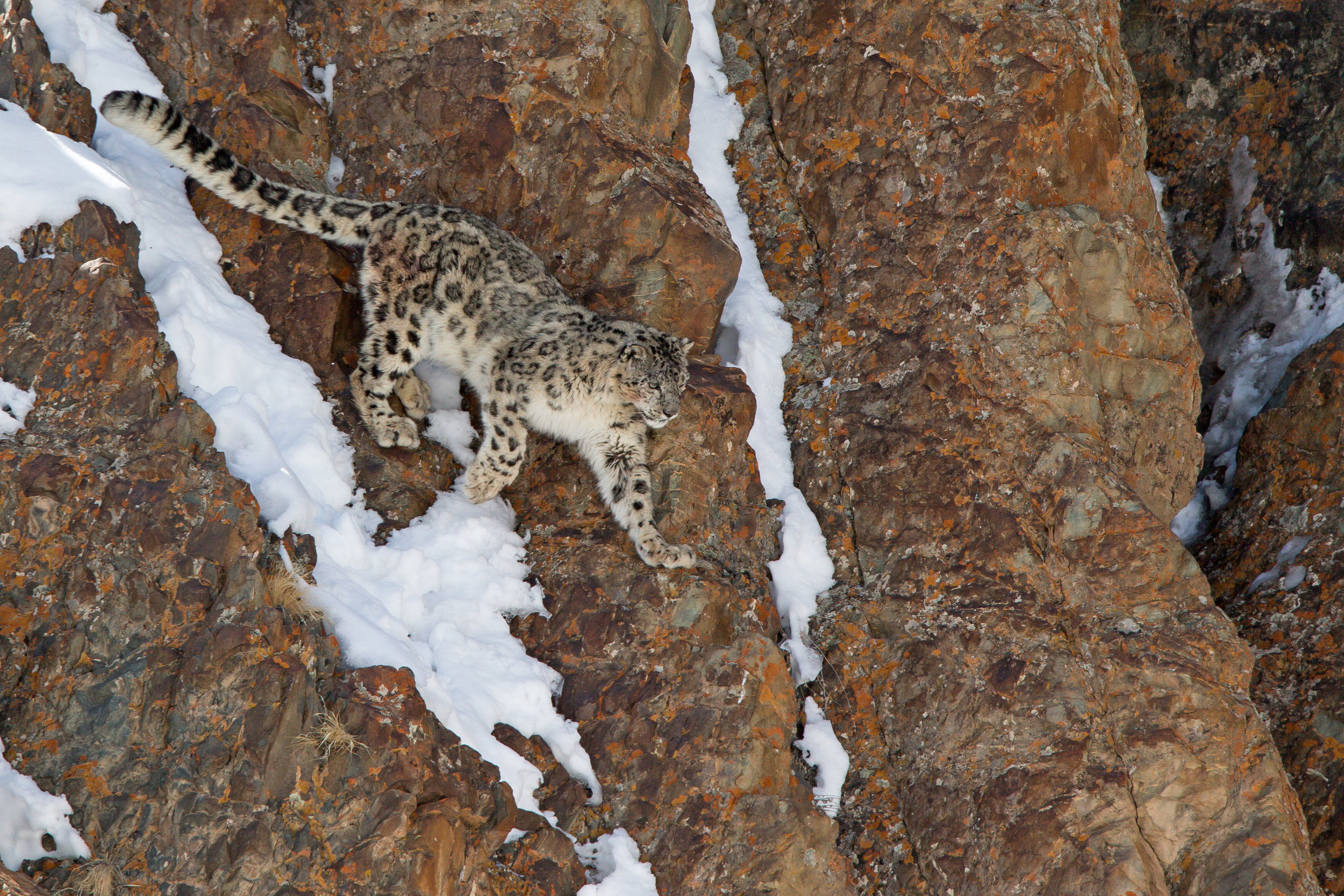 A Snow Leopard makes its way down a cliff face in Hemis National Park, Ladakh