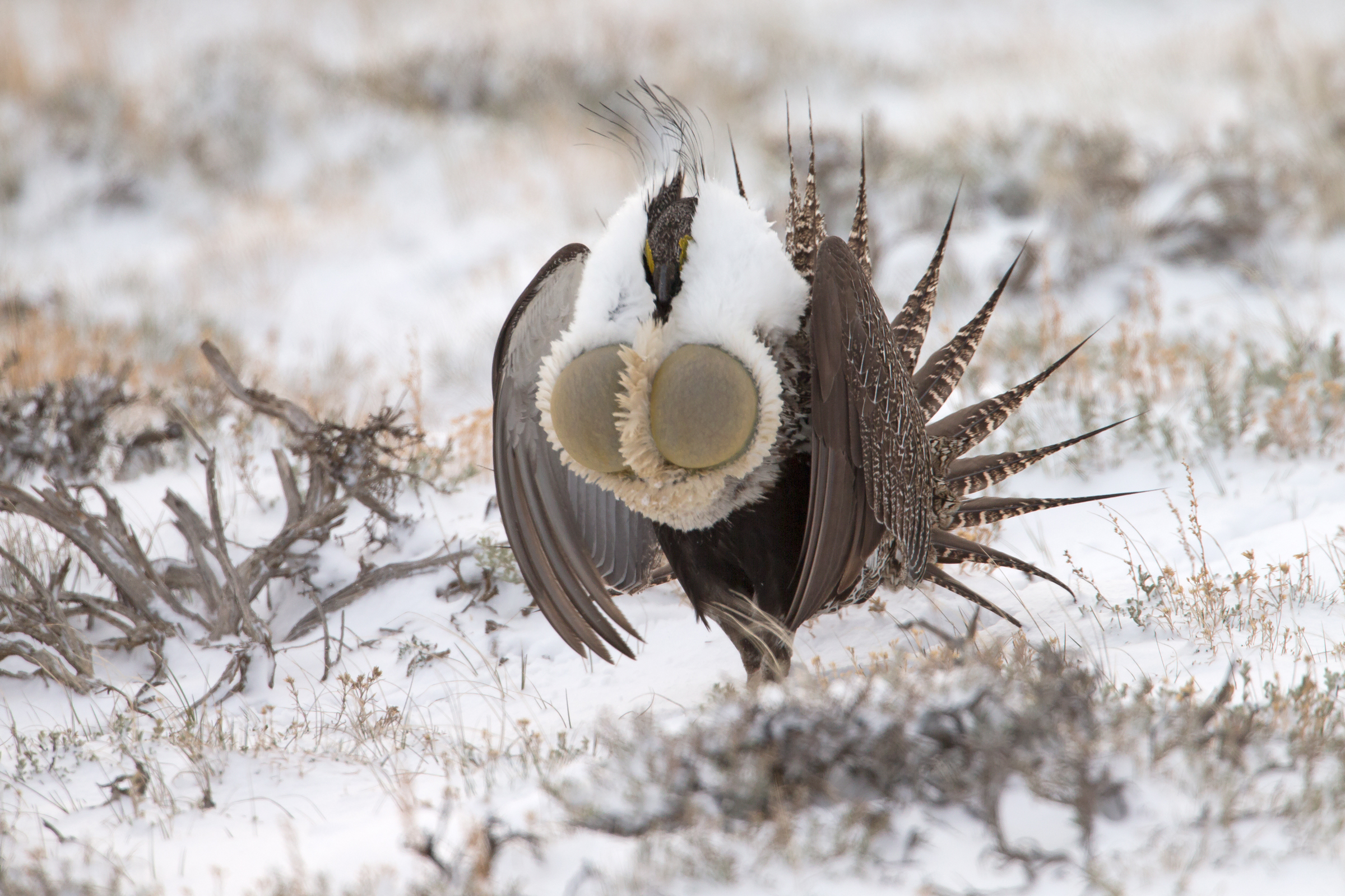 AN6V5540-Greater-Sage-grouse.jpg