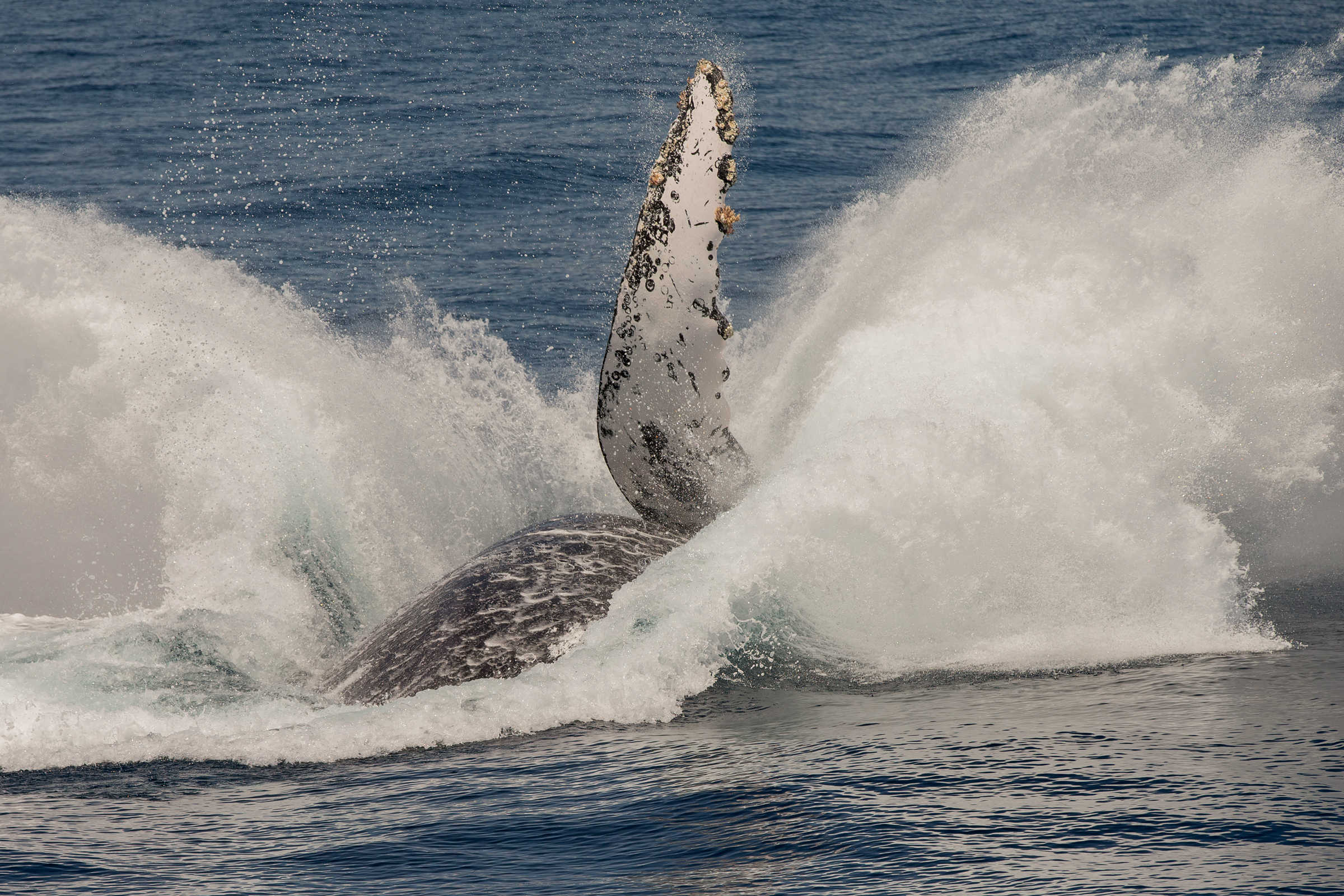 BAJA CALIFORNIA: THE LAST KINGDOM OF THE WHALES 2018 (BIRDQUEST/WILDIMAGES)