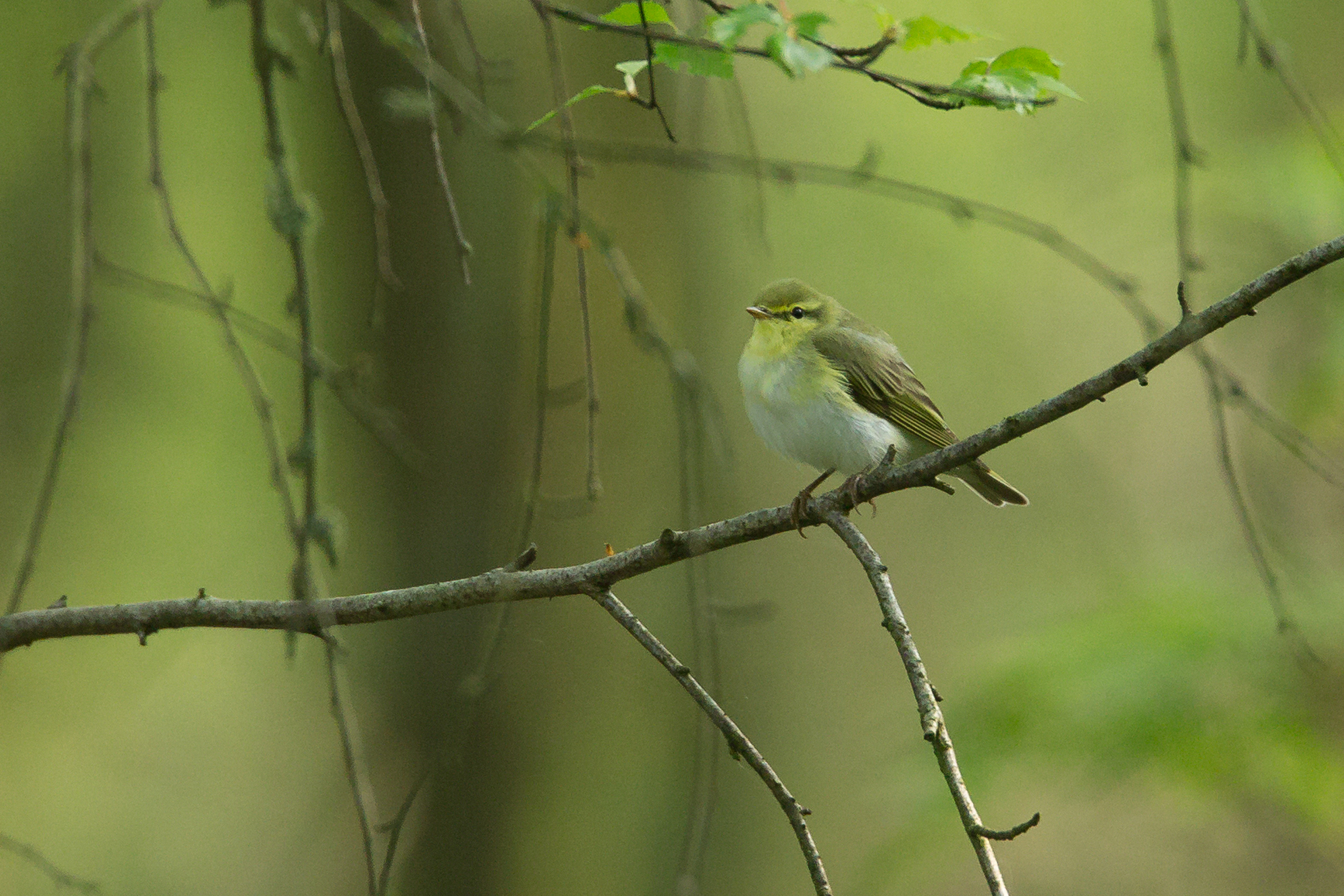 Wood Warbler, Stocks Reservoir 21 May 2018