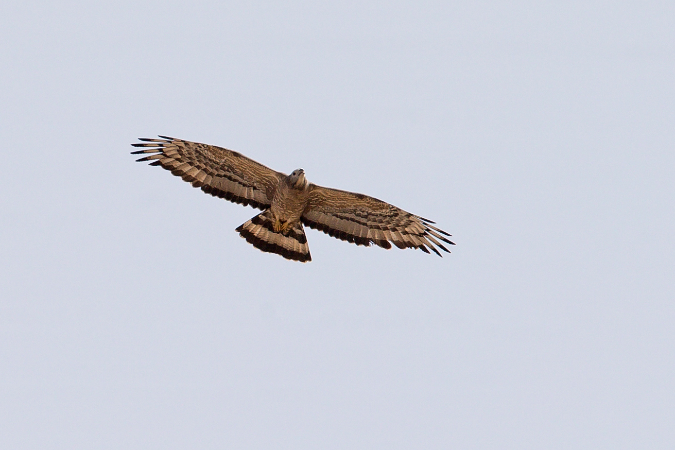 Crested_Honey_Buzzard.jpg