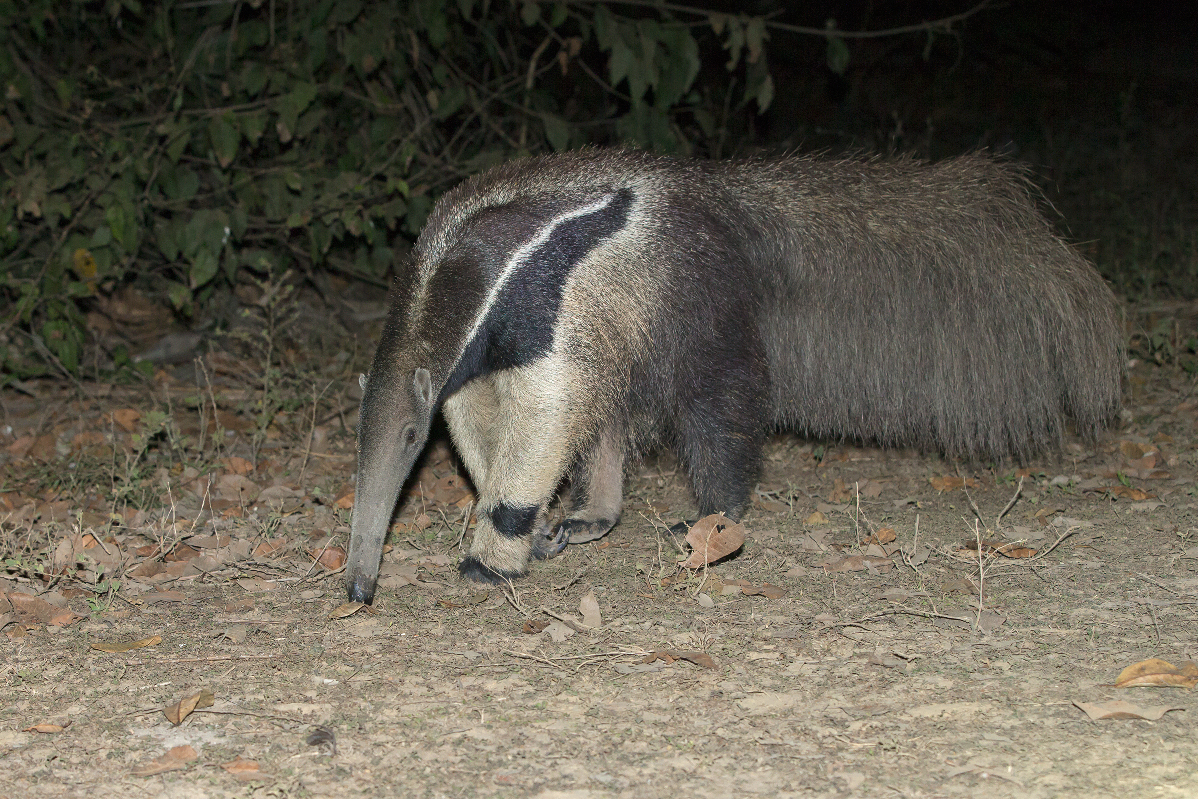 Giant Anteater, Pouso Alegre Lodge