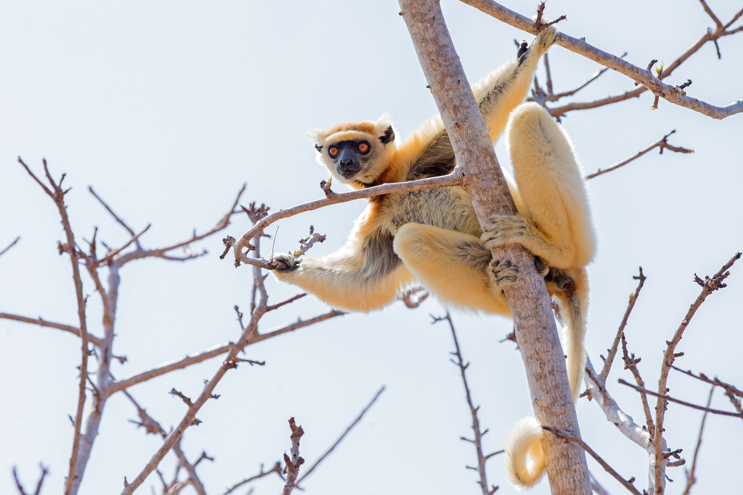 Golden-crowned Sifaka, Tattersalli Camp, Daraina