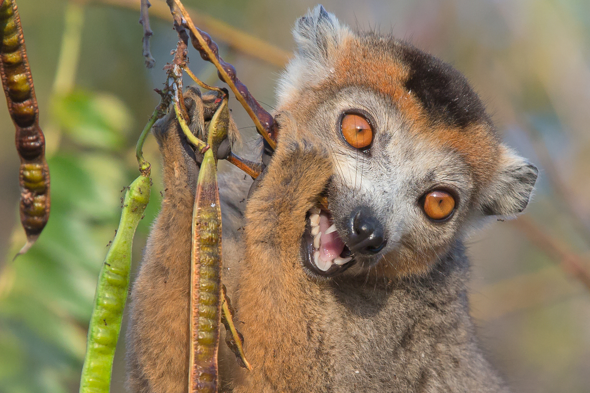 Crowned Lemur, Tattersalli Camp, Daraina