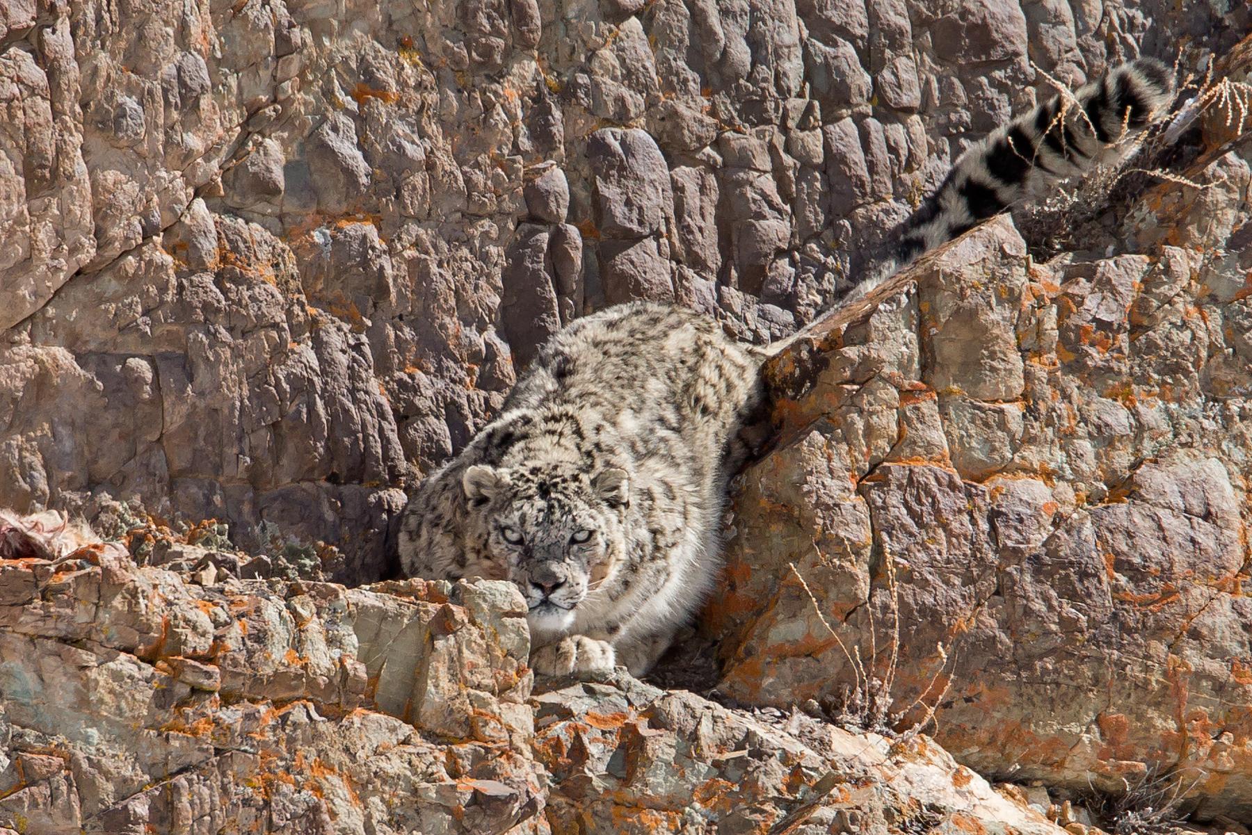AN6V4447-Snow-Leopard copy.jpg