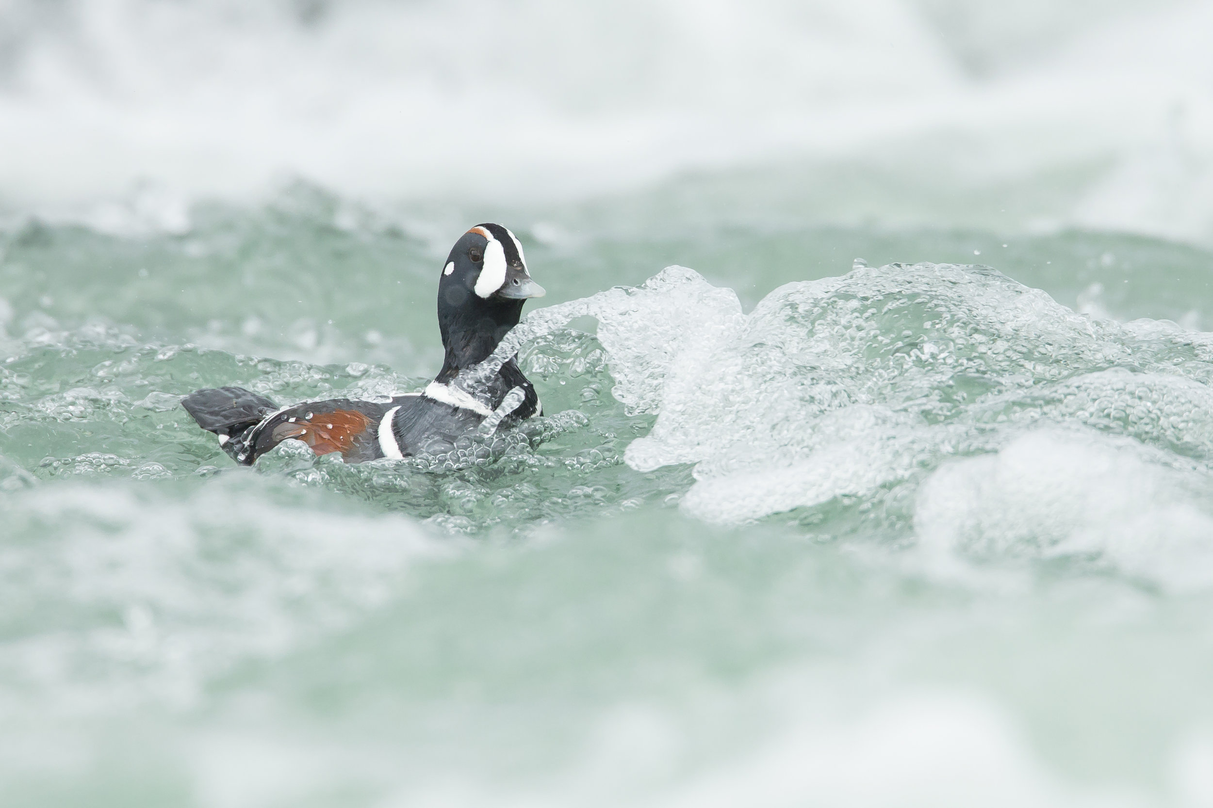 A drake Harlequin duck shoots the rapids of the River Laxa in northeast Iceland - there are few finer sights in nature!