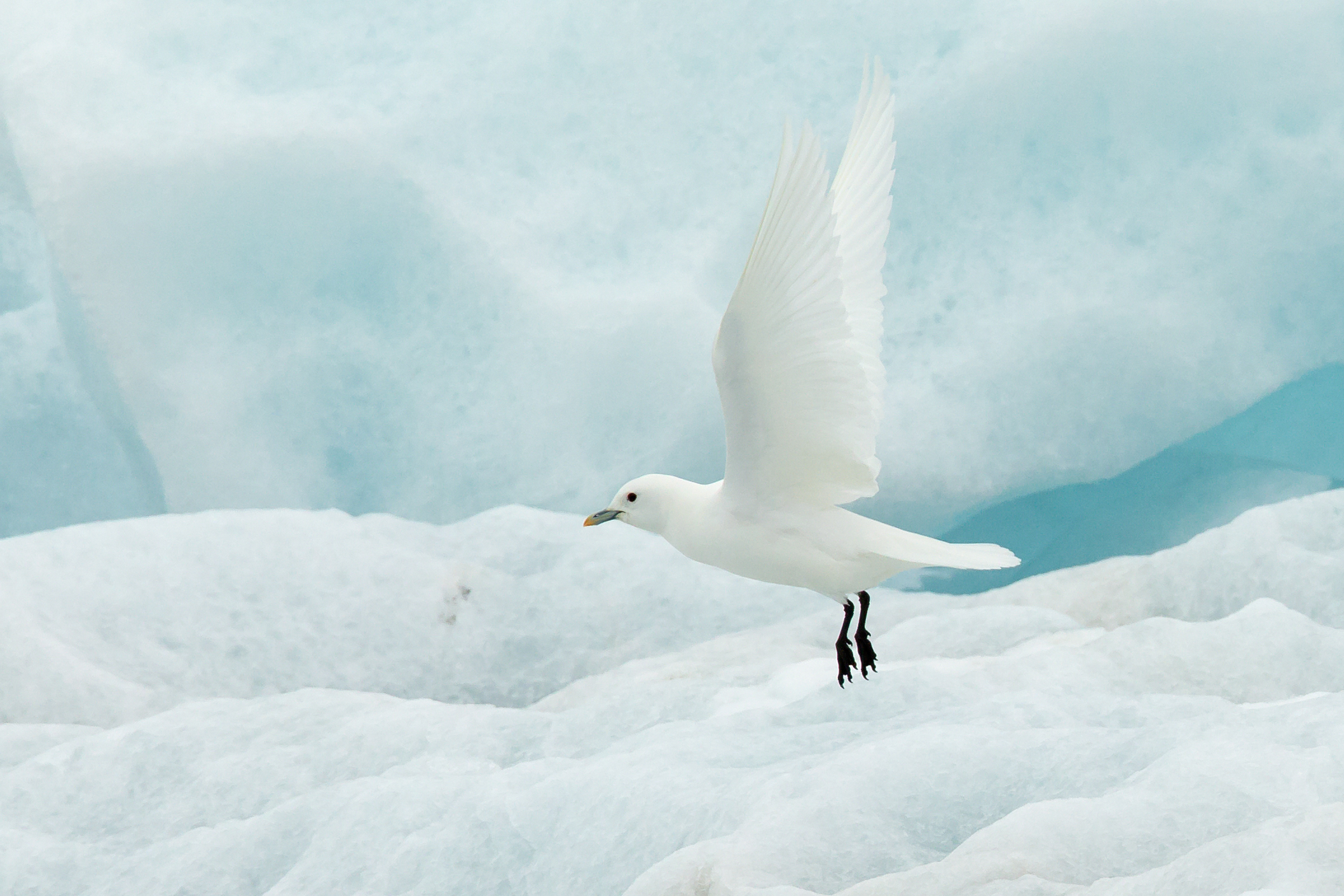 The exquisite Ivory Gull lights up our Svalbard cruises