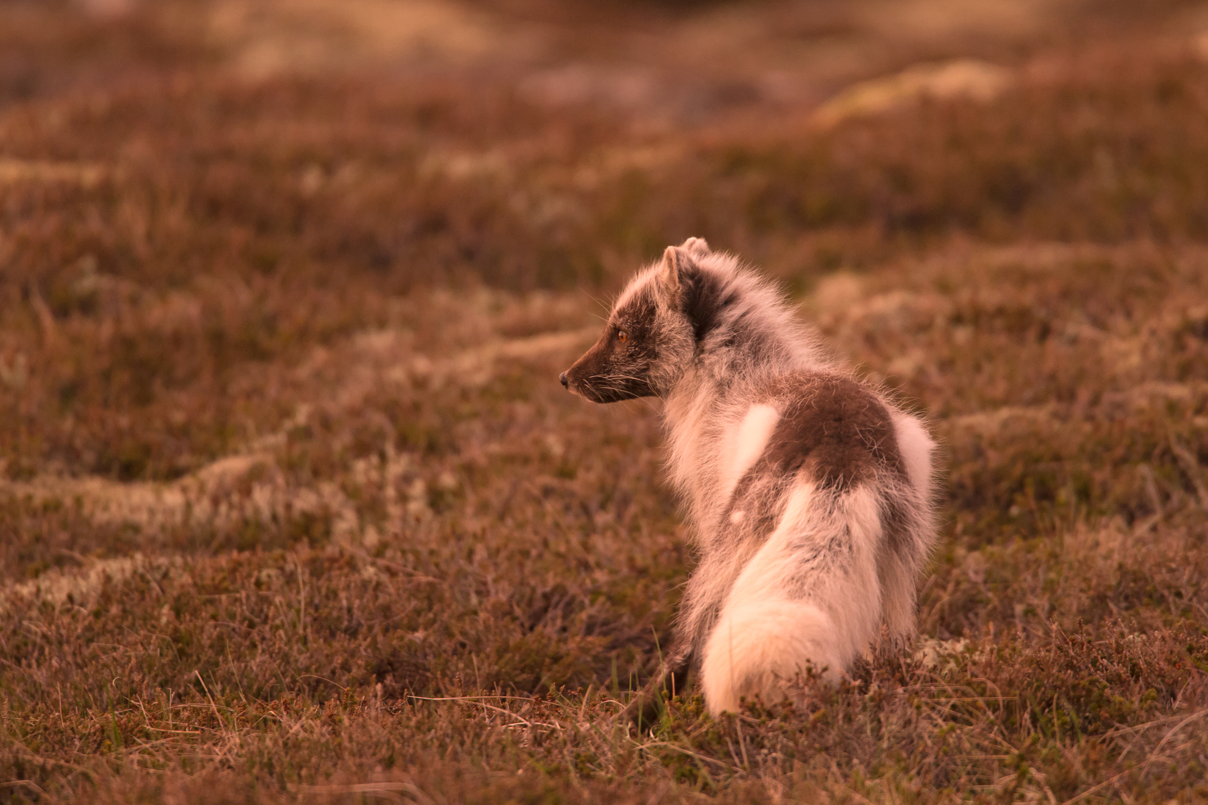 An Arctic Fox in midnight sun in western Iceland