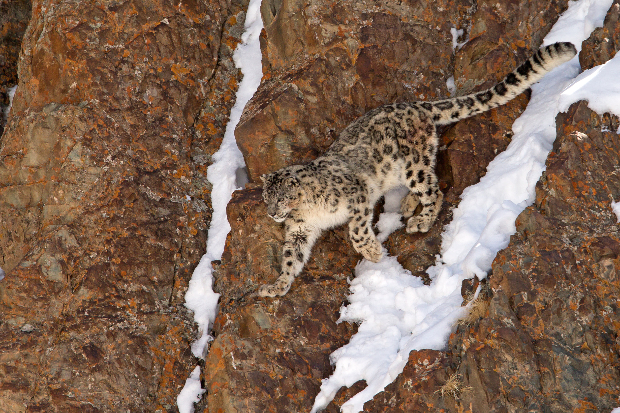Snow Leopard, Hemis National Park