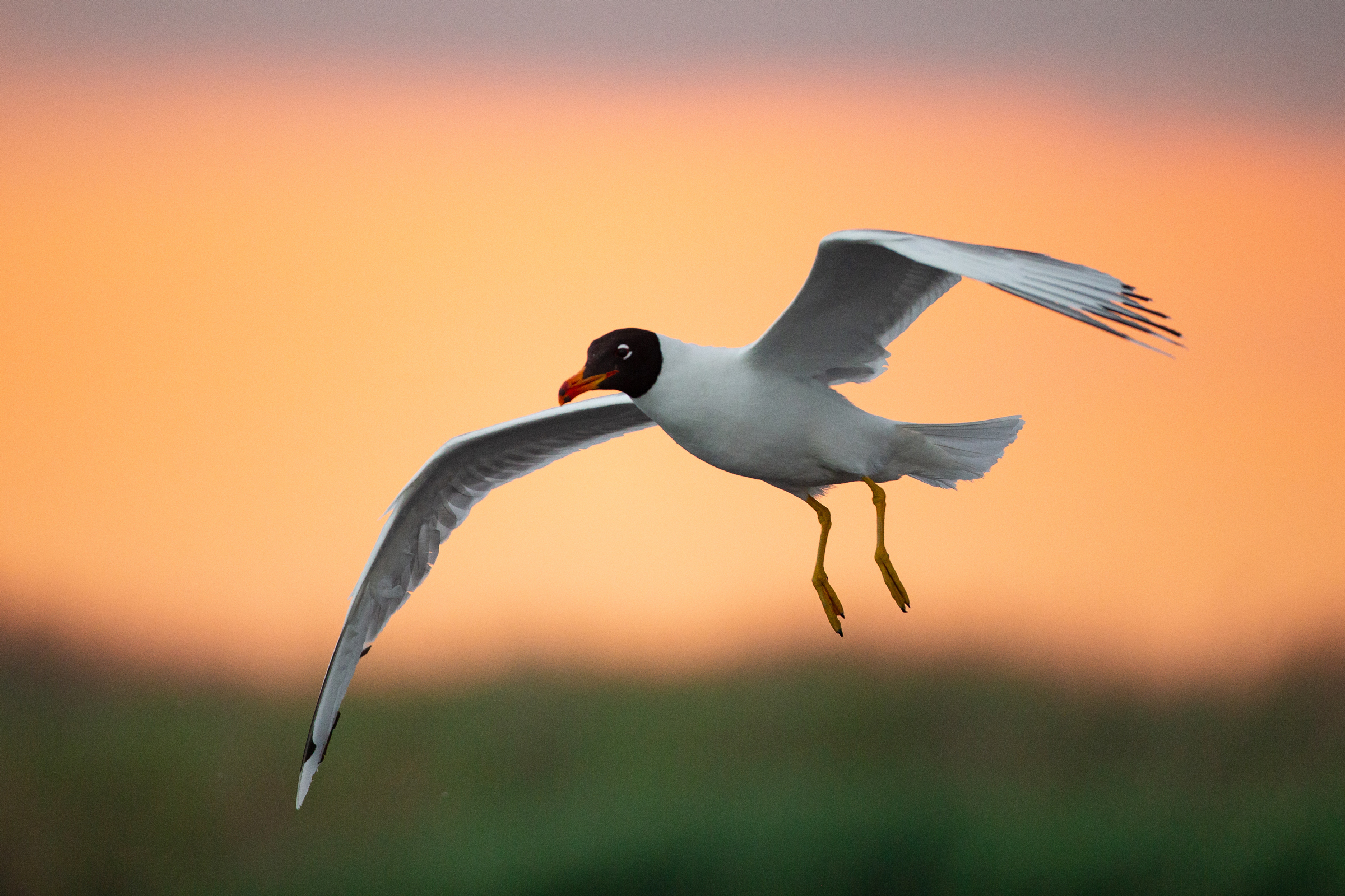 Pallas's Gull against a fiery sunset in the Danube Delta