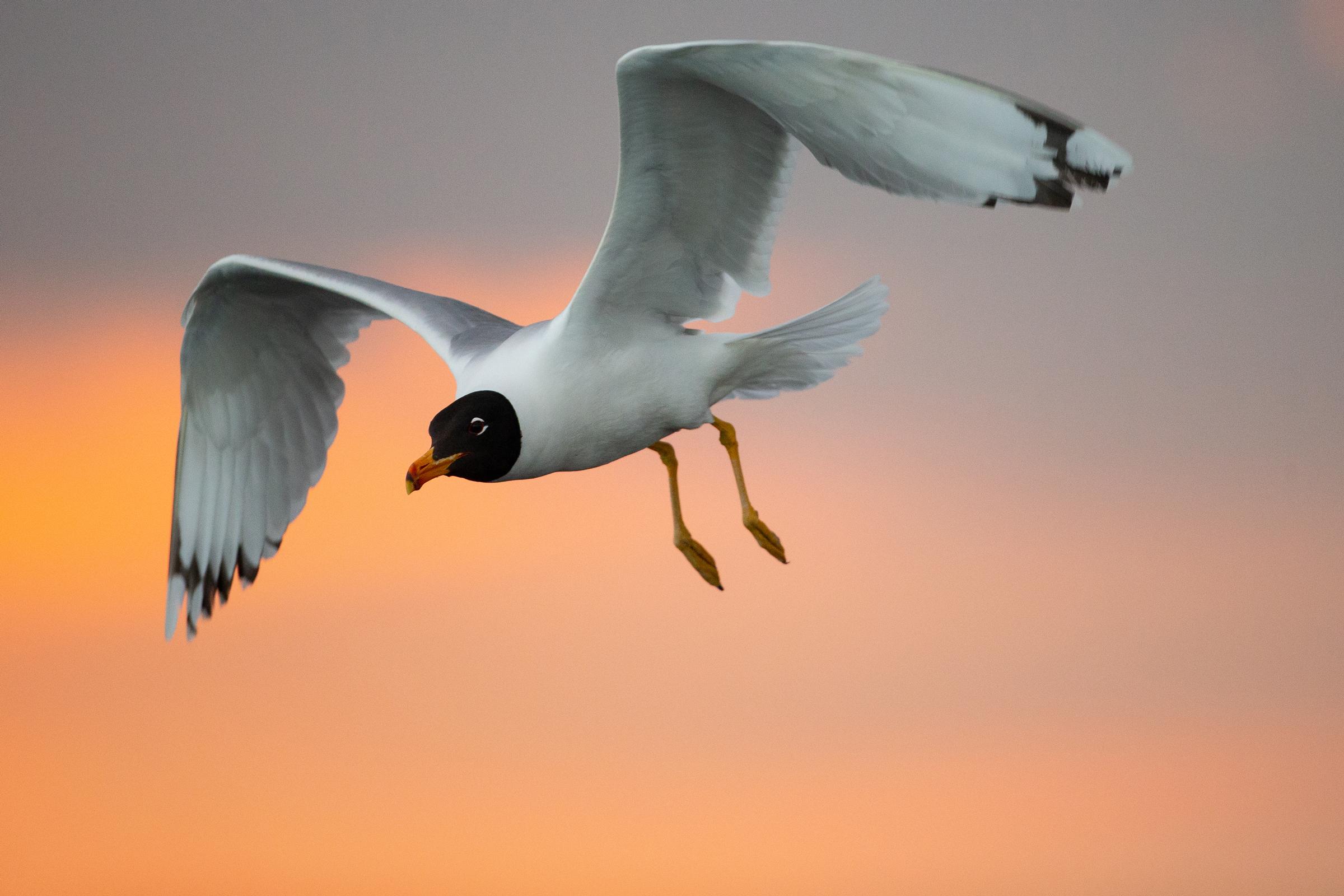 AN6V0478-Pallass-Gull.jpg