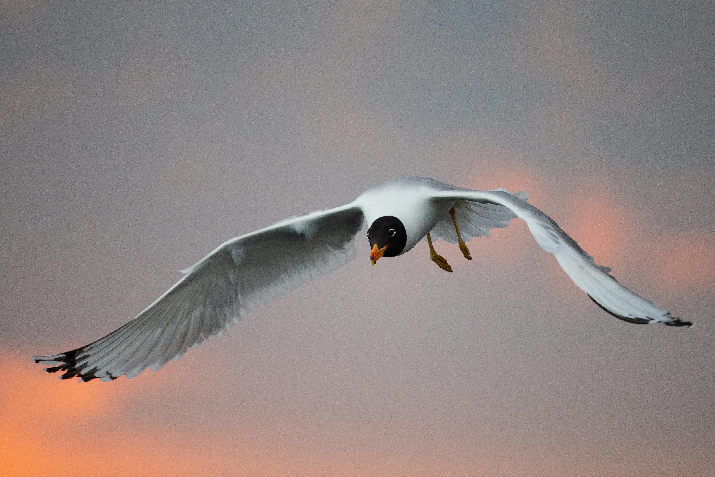 Pallas's Gull.jpg