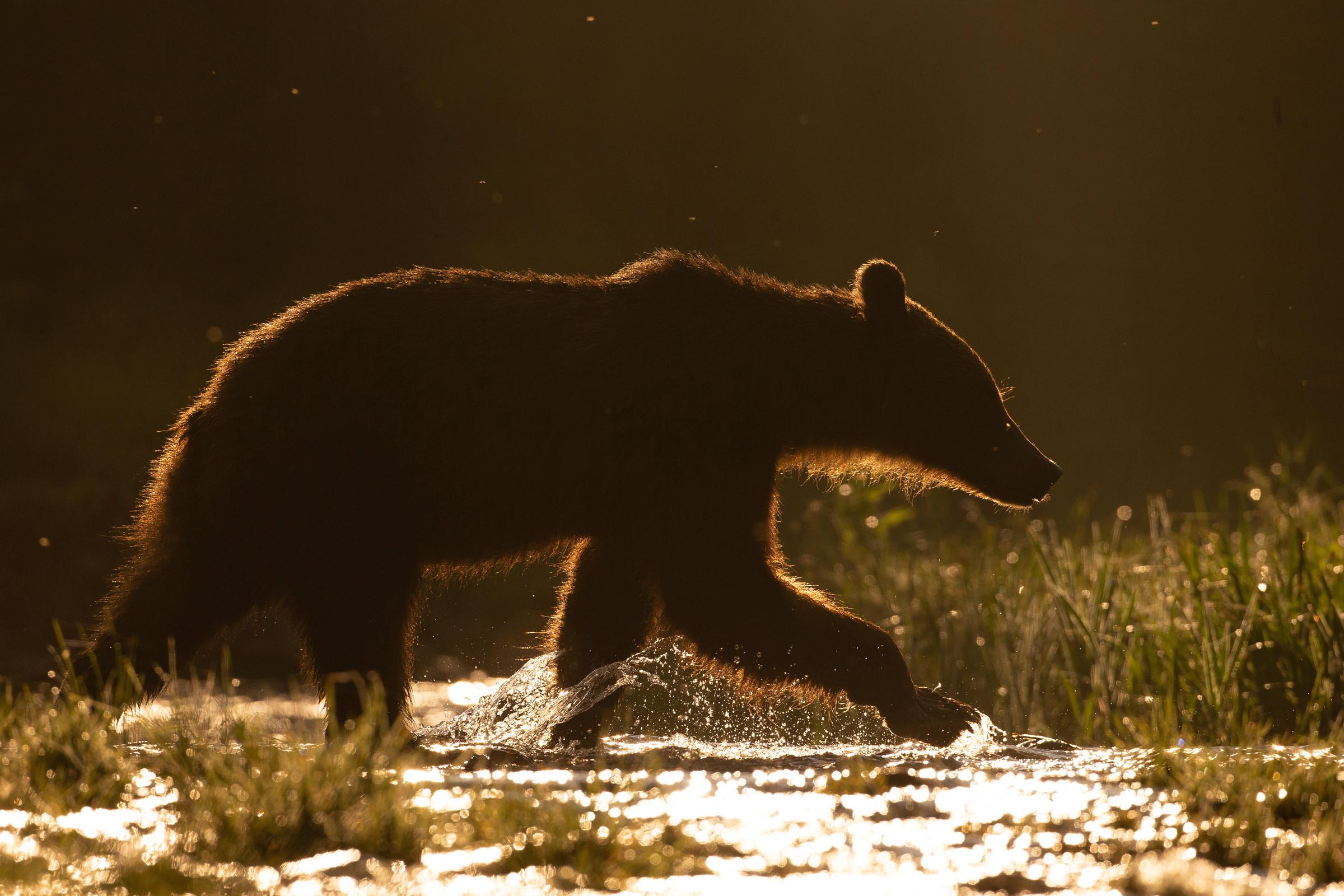 Carpathian Brown Bear in Transylvania's Harghita region, June 2019