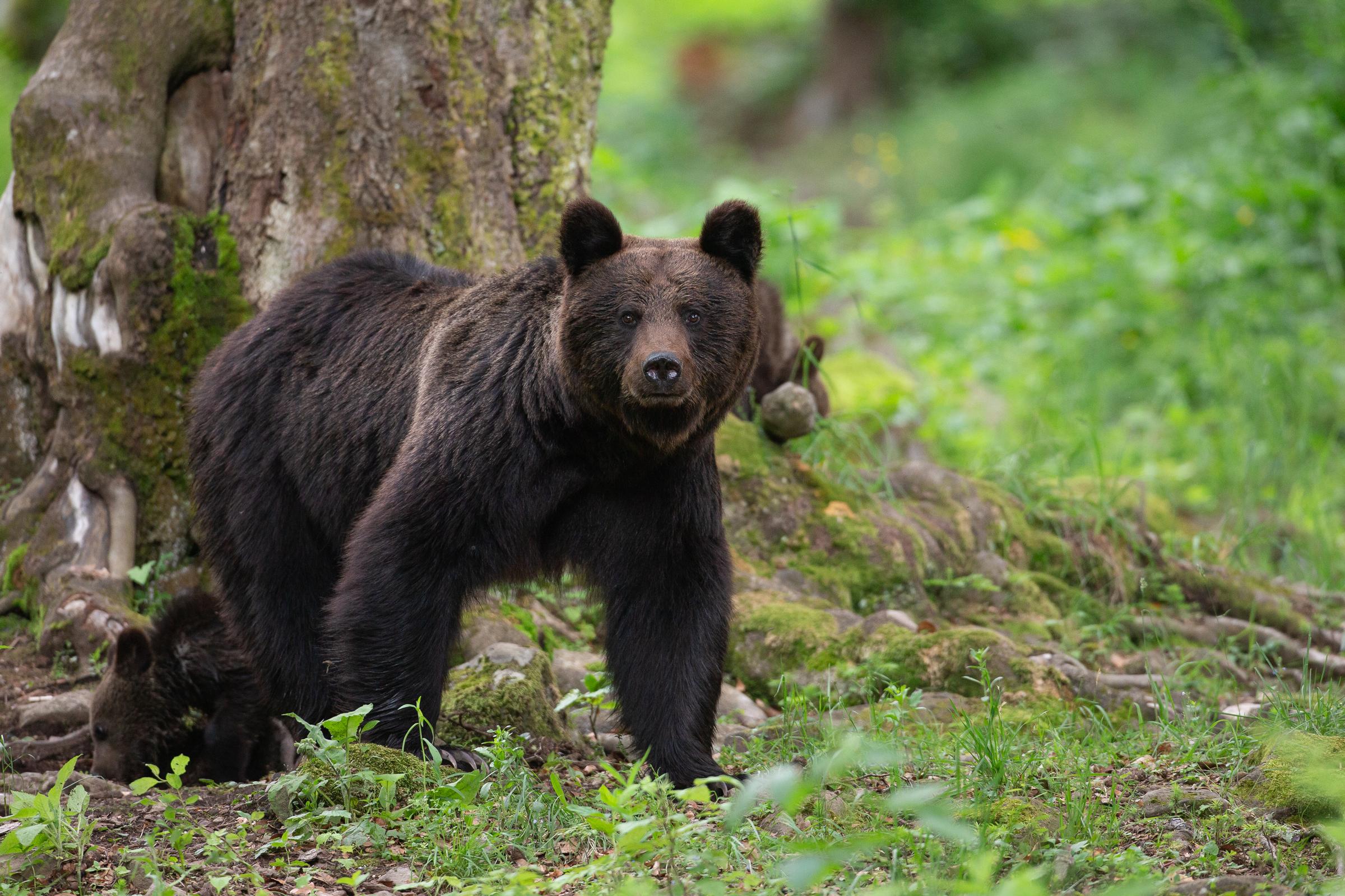 brownbear.jpg