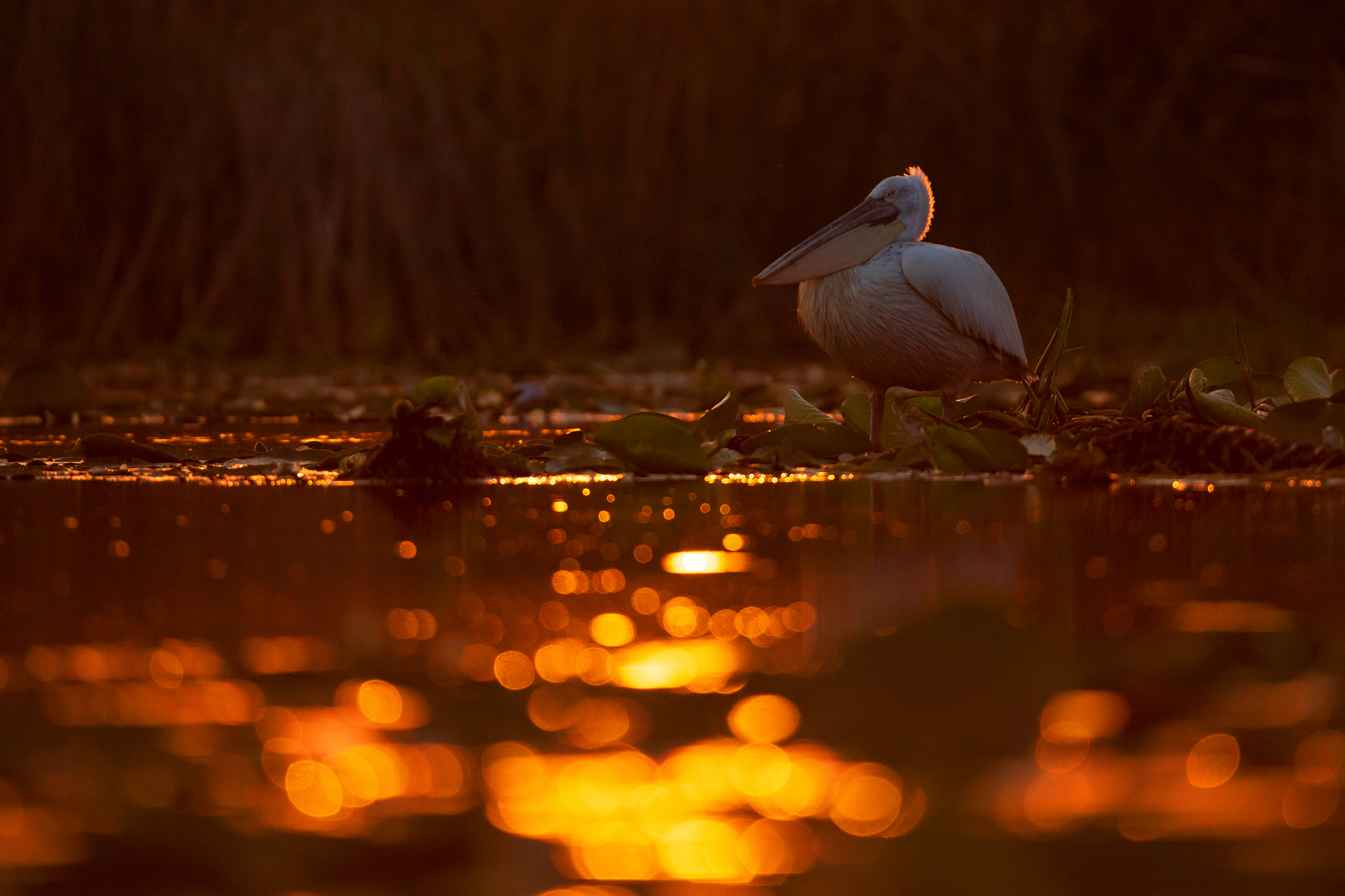 Dalmatian Pelican burning in a delta sunset