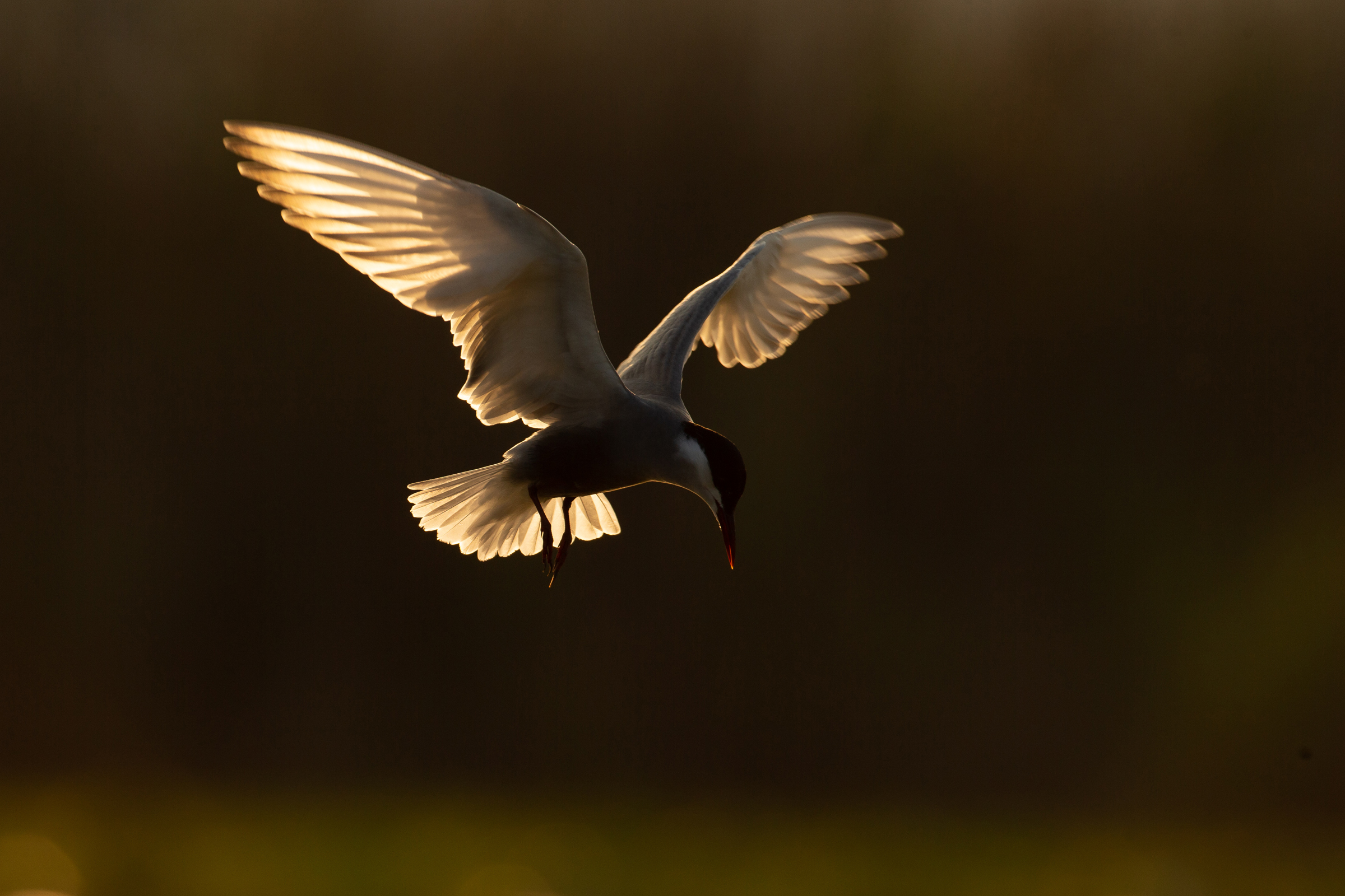 Whiskered Tern backlit