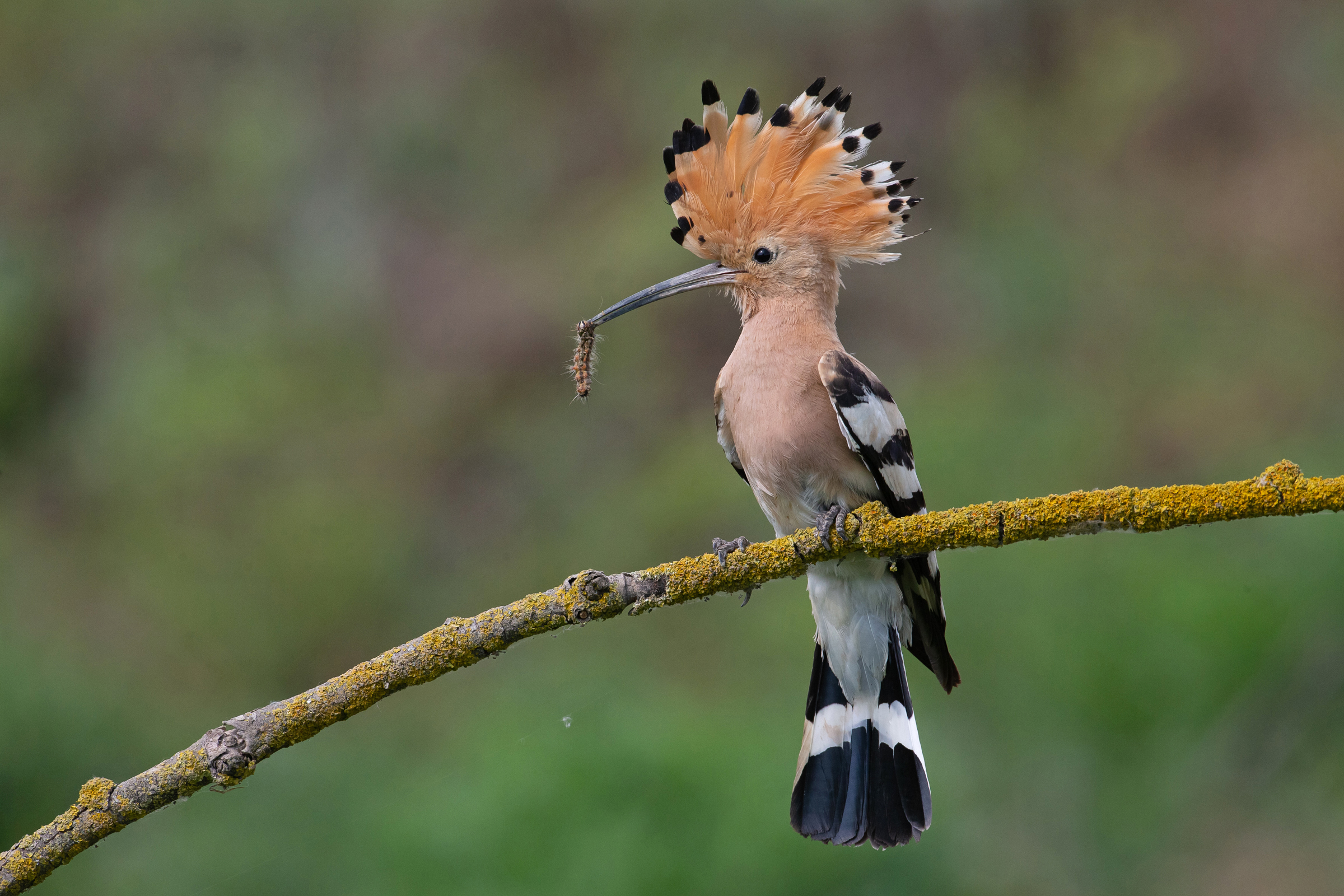 Eurasian Hoopoes are feeding well grown young by late May